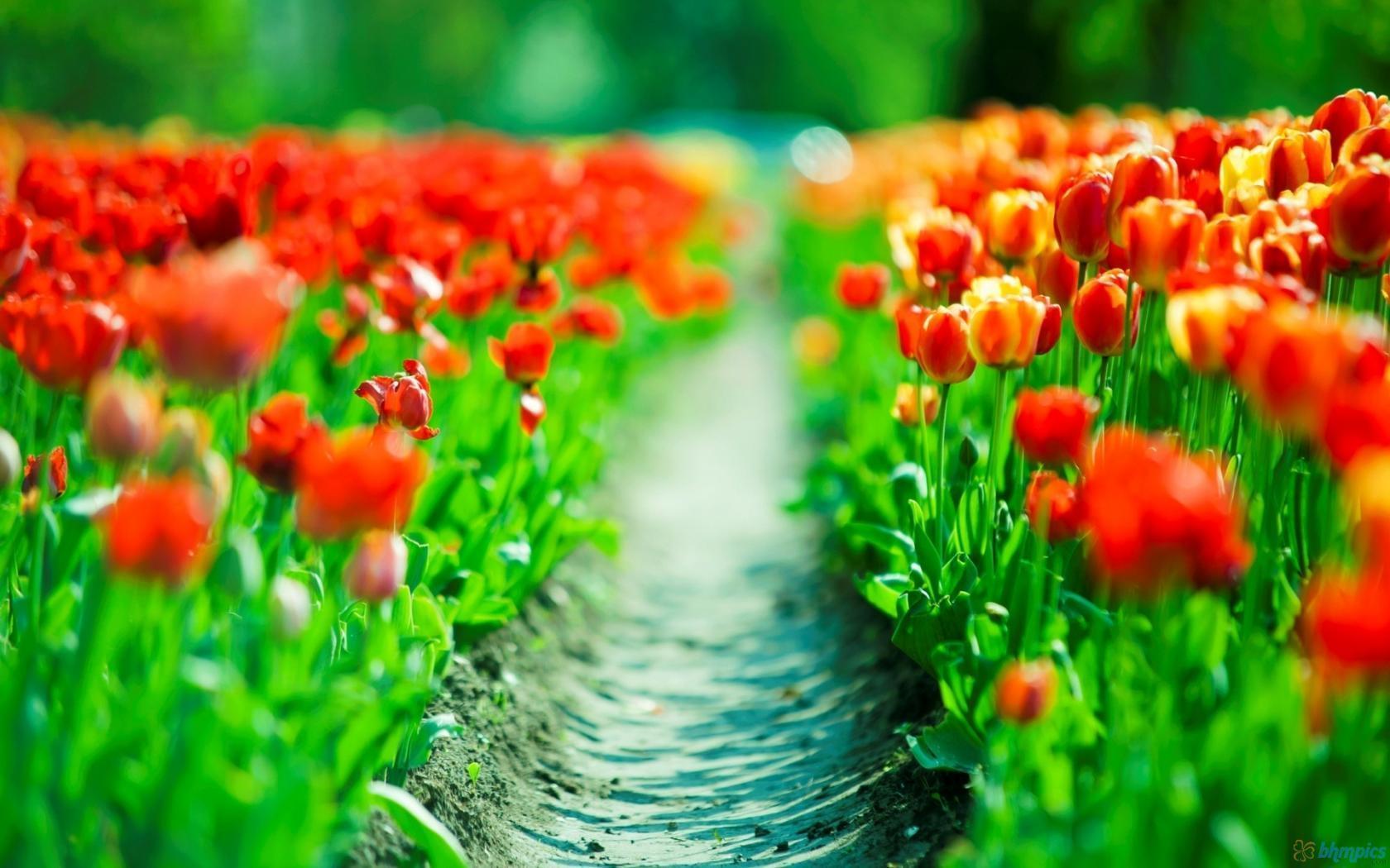 Wallpapers For Desktop Backgrounds Tulip Flowers