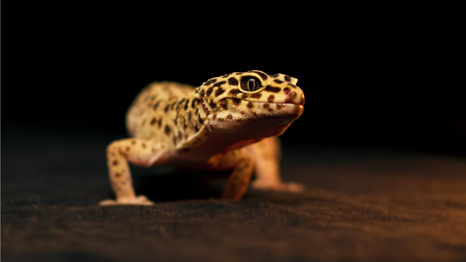 4 Leopard Gecko Wallpapers
