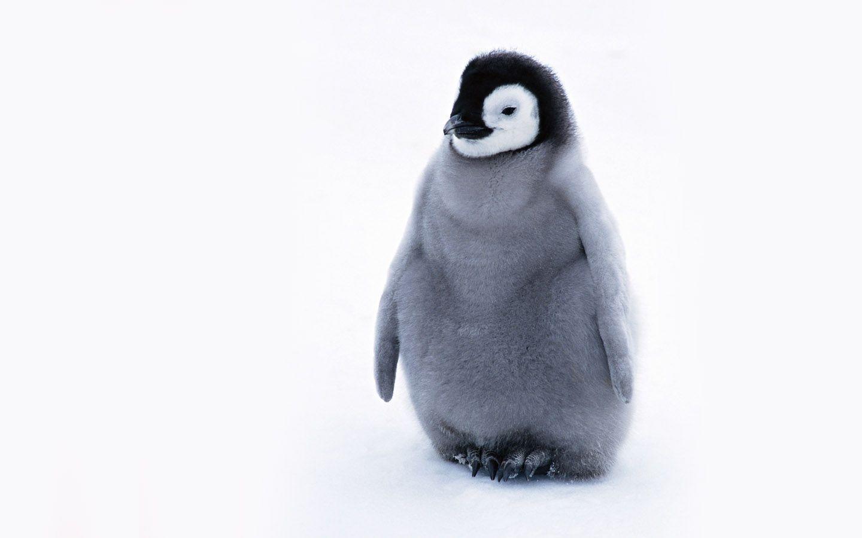 penguin wallpaper wallpapers - photo #20