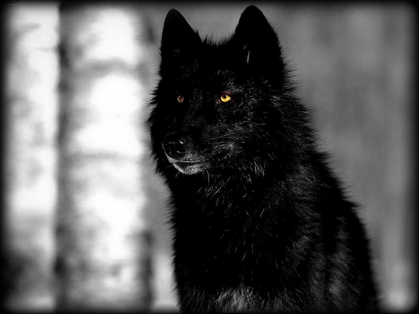 wolf in black and - photo #11