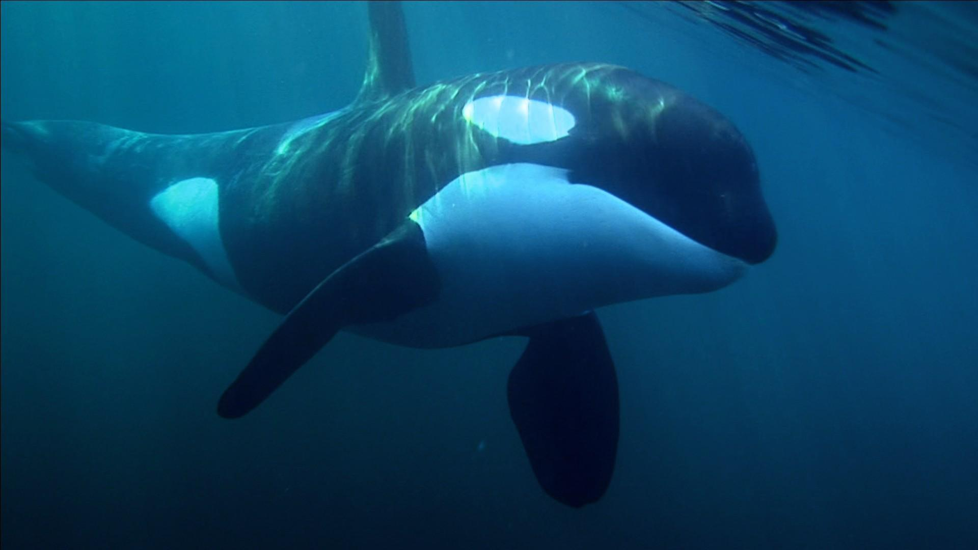 Orca Whale Wallpapers - Wallpaper Cave