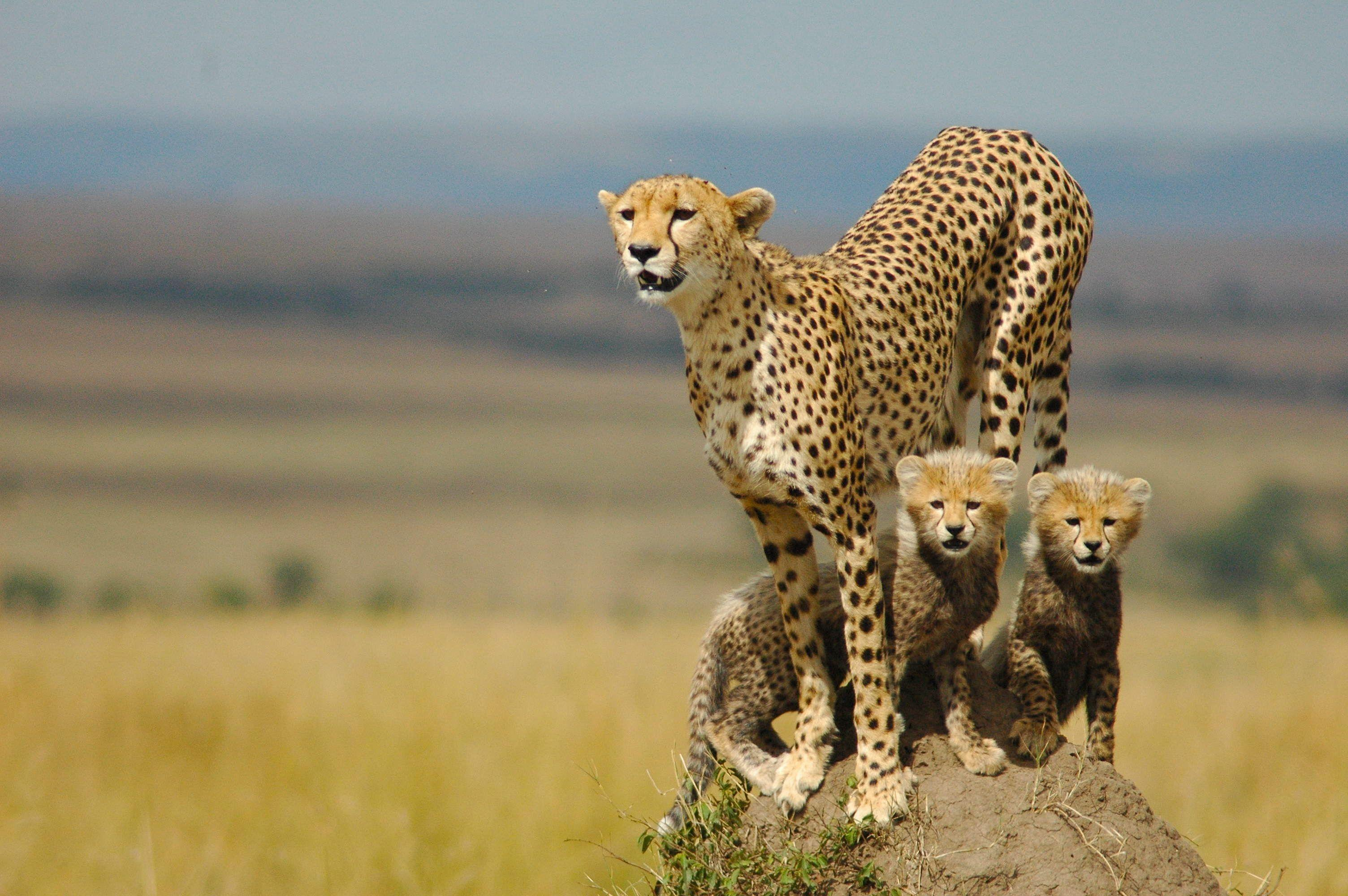 20 HD Cheetah Wallpaper | CuriositySplash