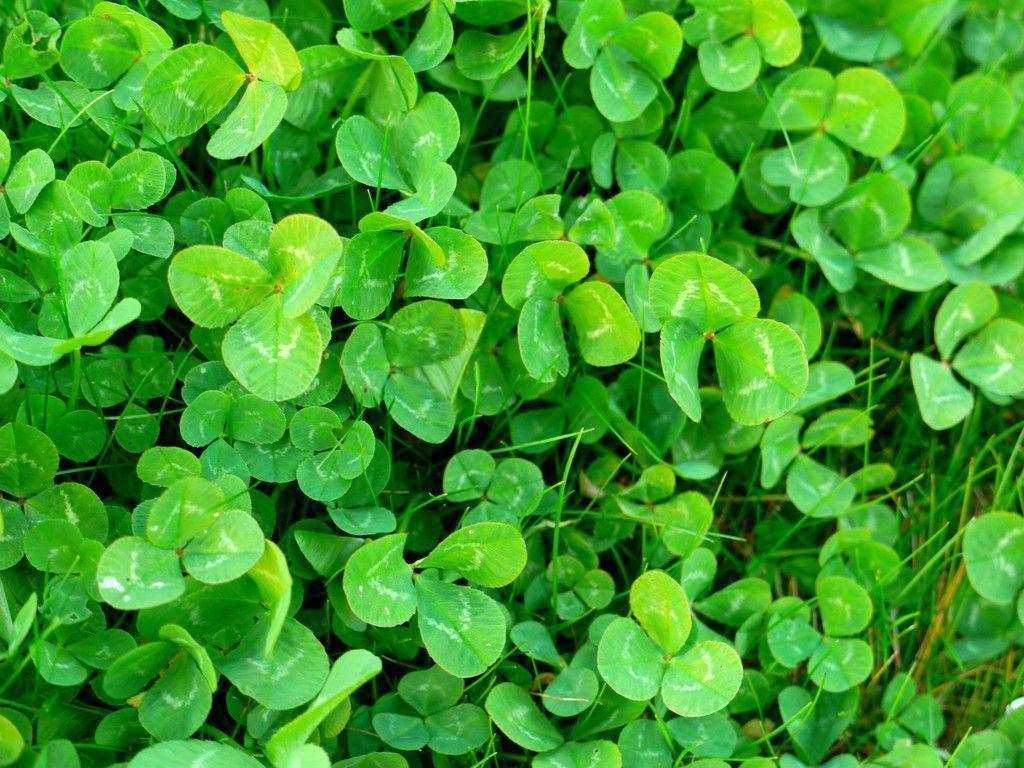 Shamrock Wallpapers - Wallpaper Cave