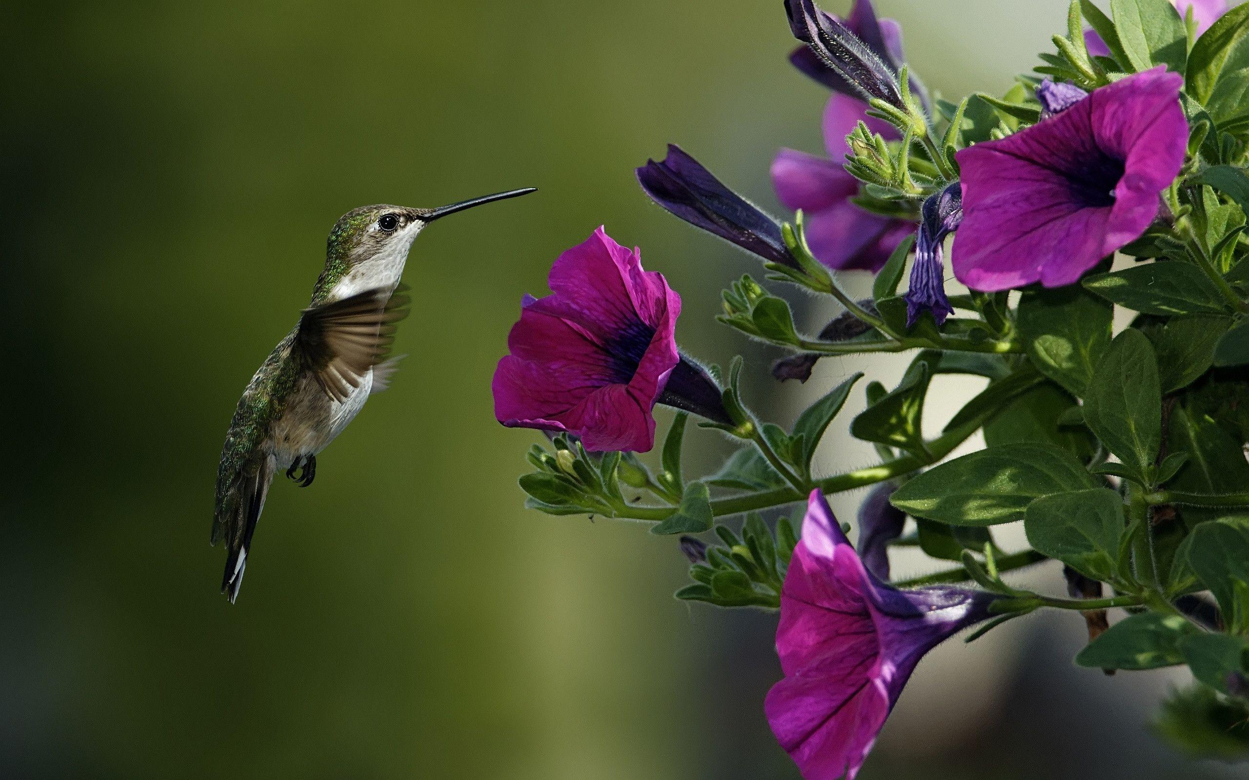 free hummingbird wallpapers wallpaper cave