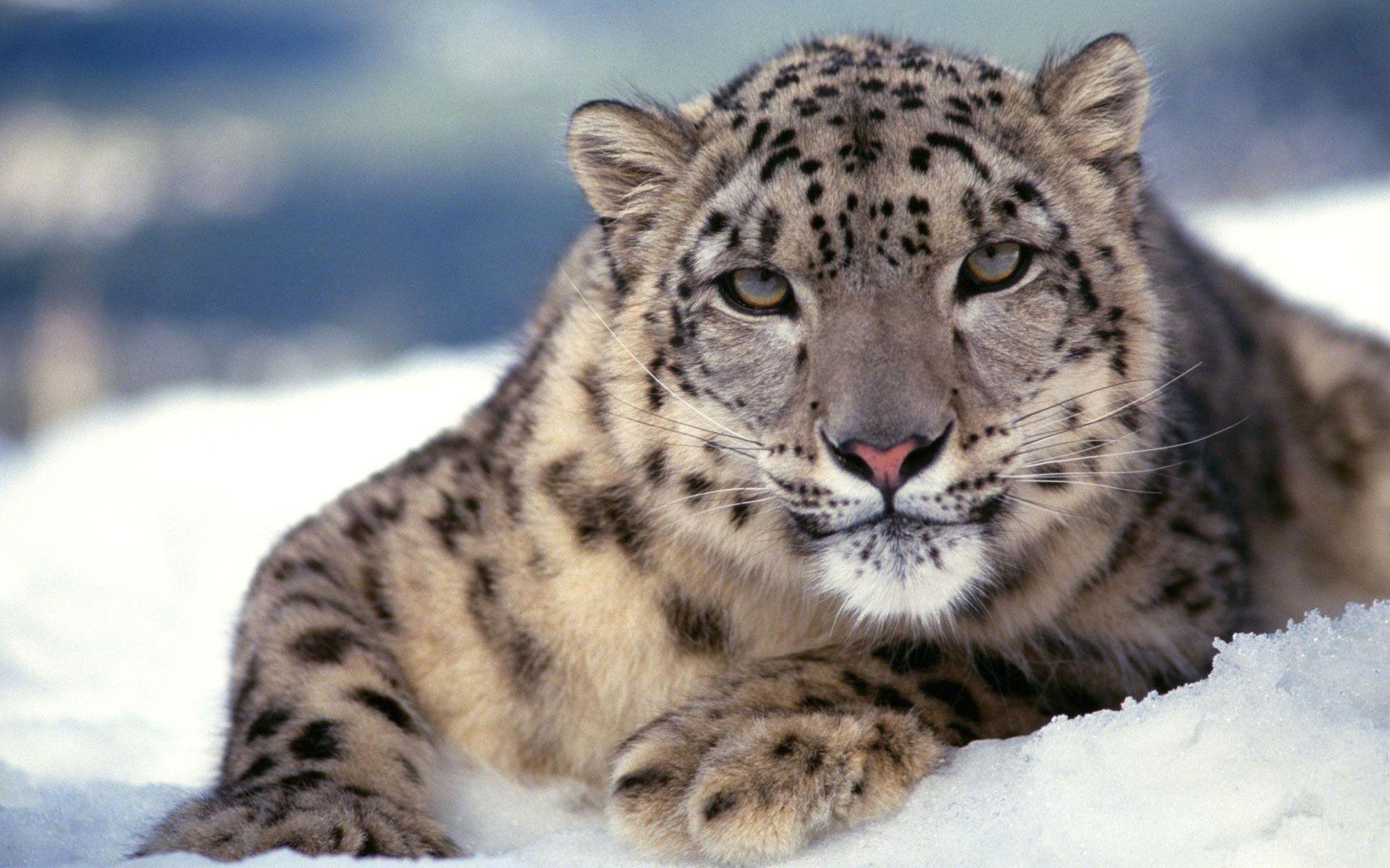 Snow leopard tiger hybrid