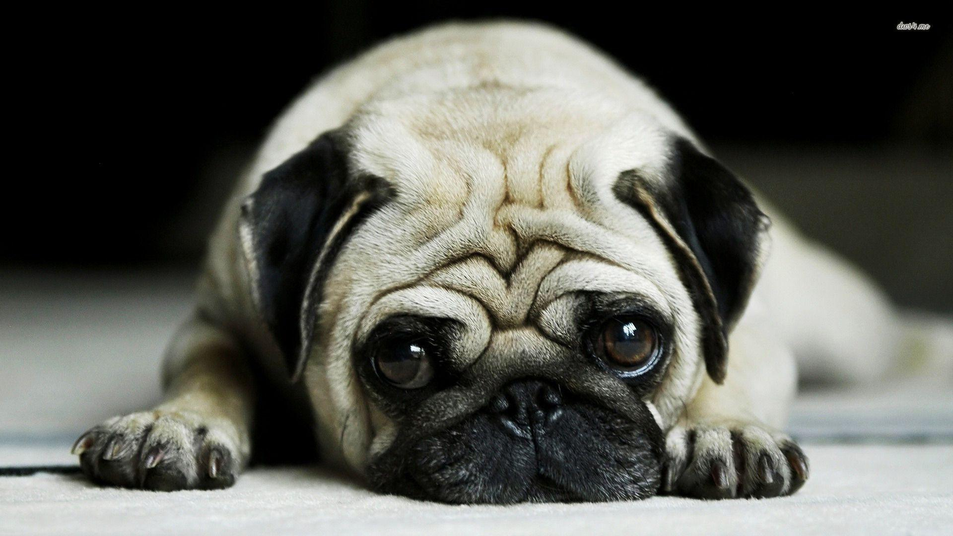 Images For > Cute Pug Wallpaper