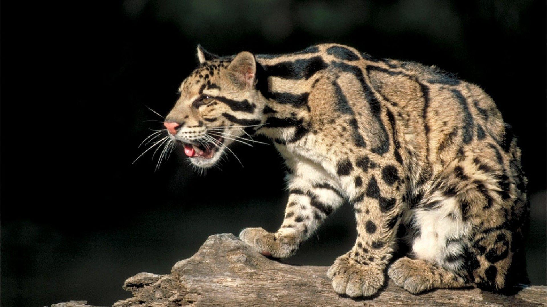 clouded leopard wallpaper - photo #5