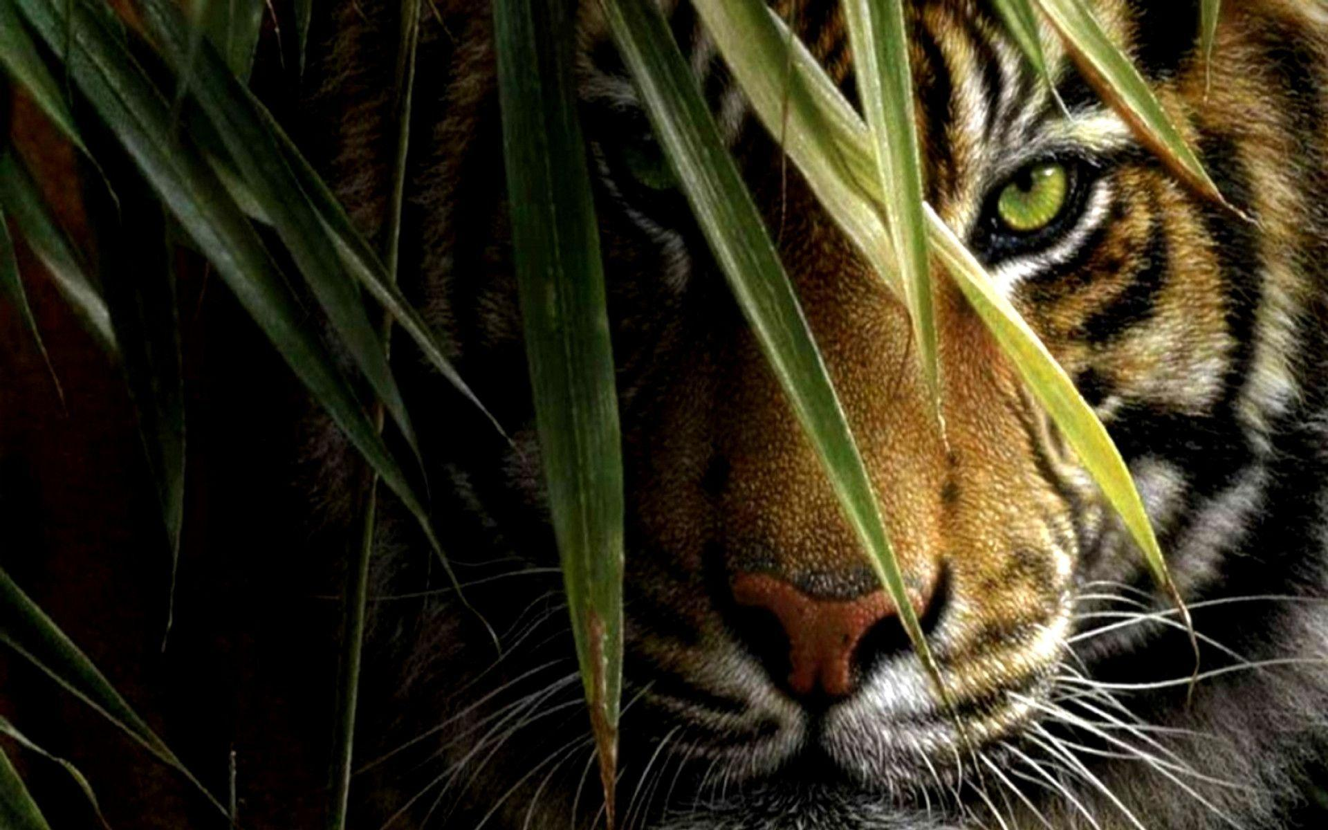 Tiger wallpapers 158354