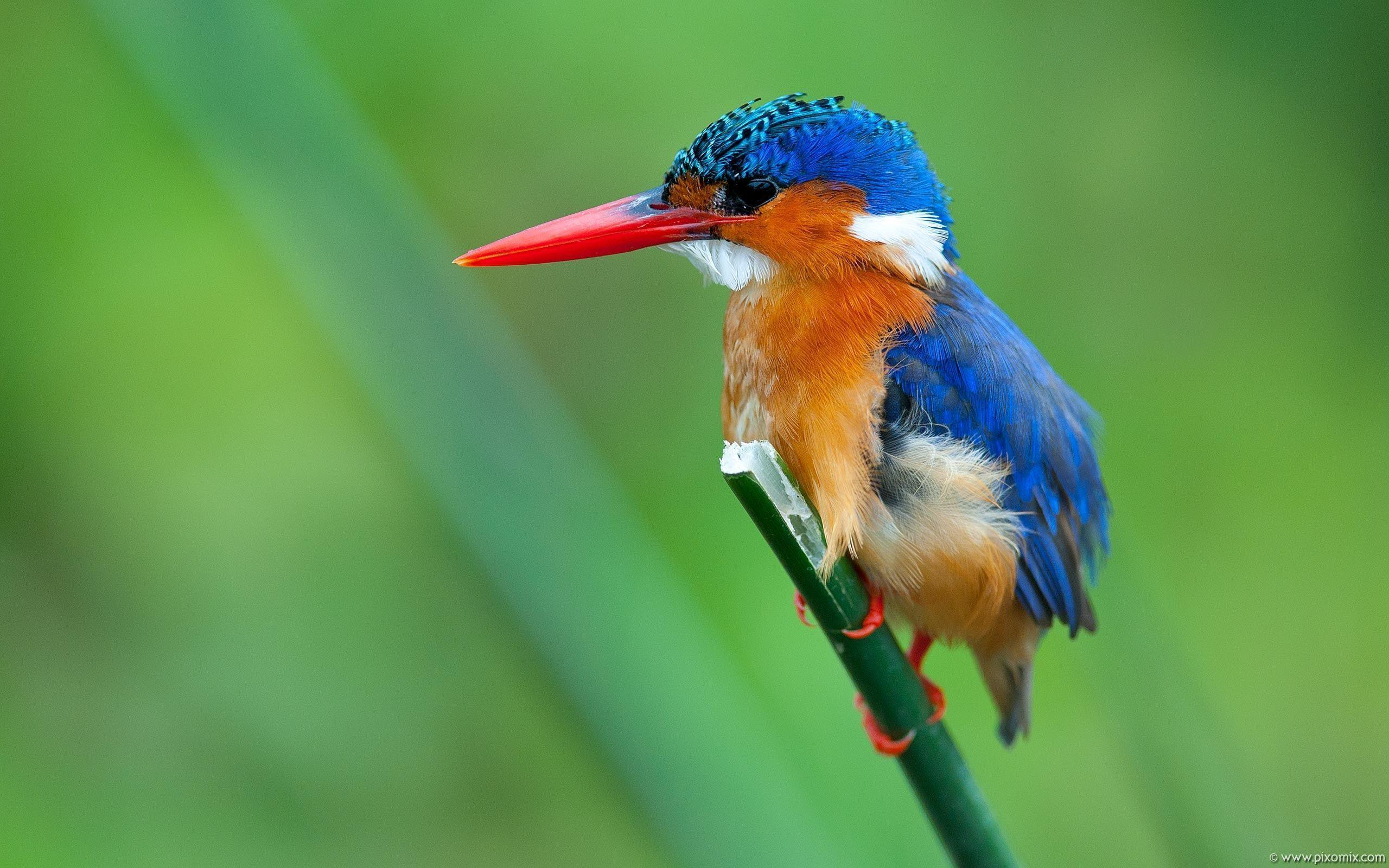 kingfisher wallpapers hd - photo #5