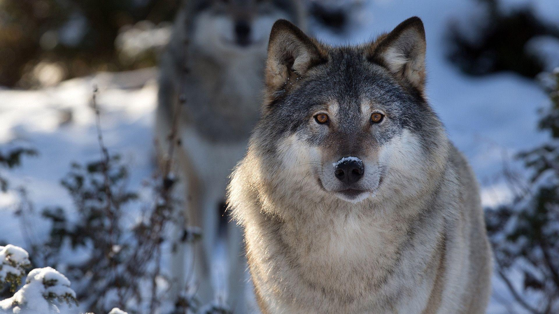 wolf wallpapers ndash animal - photo #7