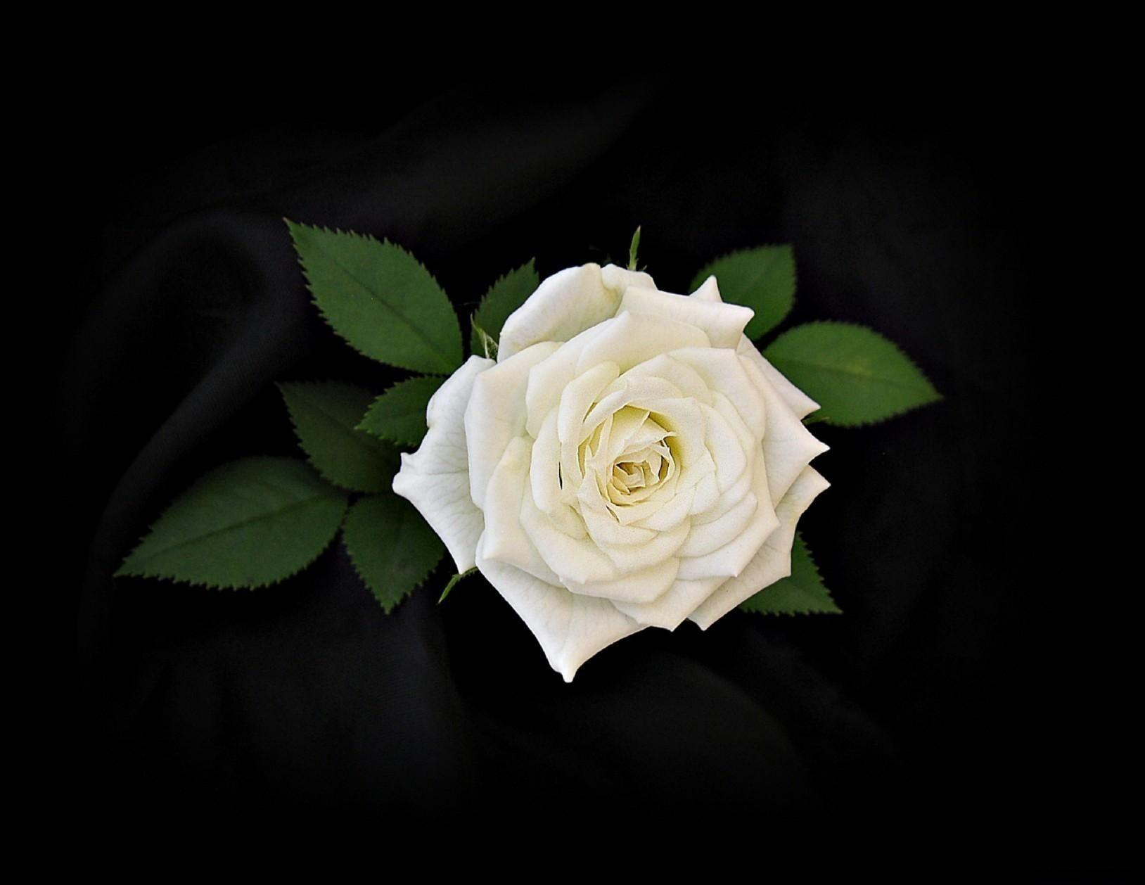 Wallpapers For > White Roses Black Backgrounds