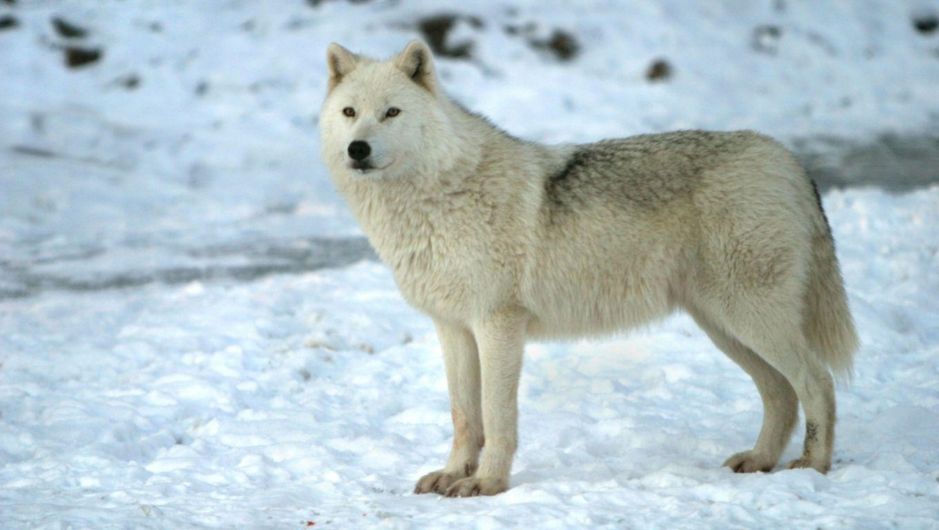 Hd wallpaper of cute puppies - Arctic Wolf Wallpapers Wallpaper Cave