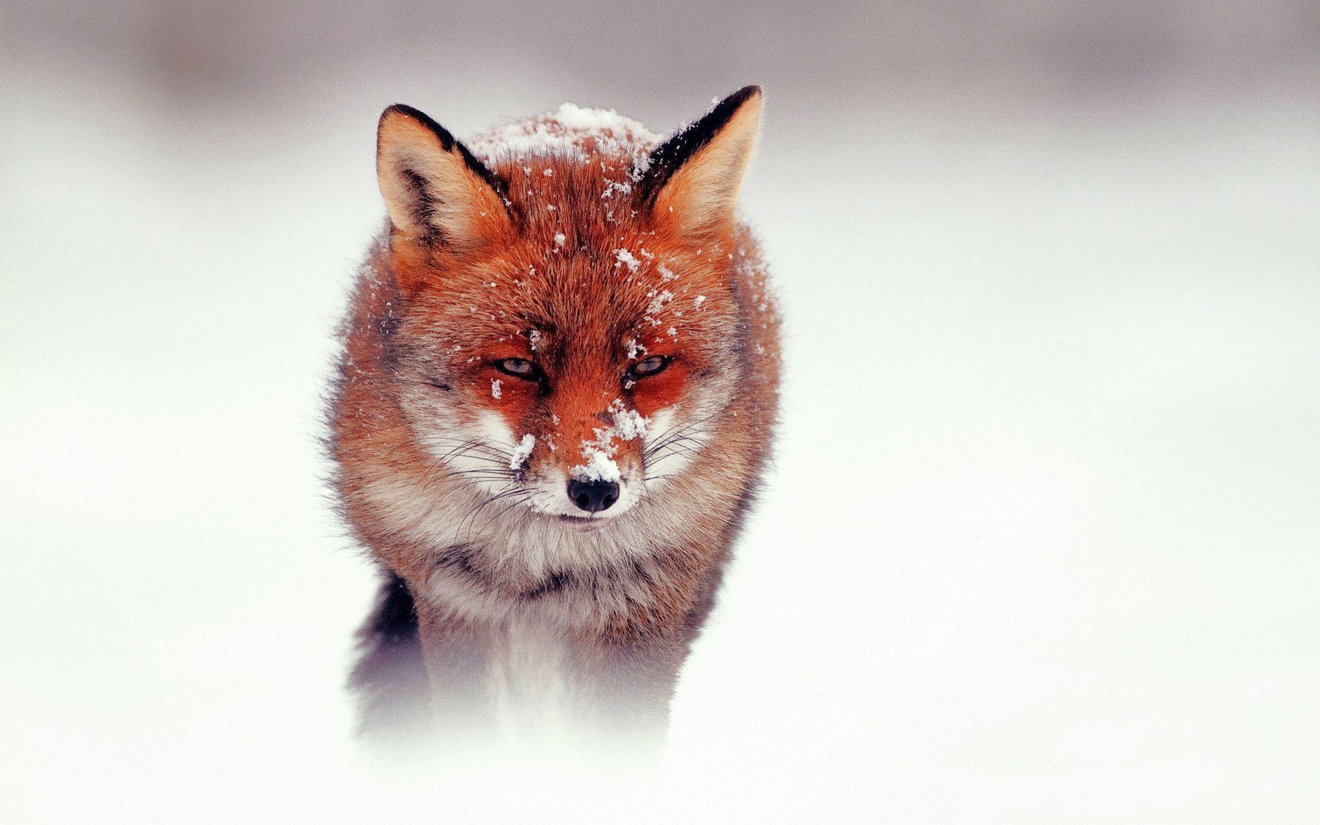 Red Fox Wallpaper 3818 Wallpaper | wallpicsize.