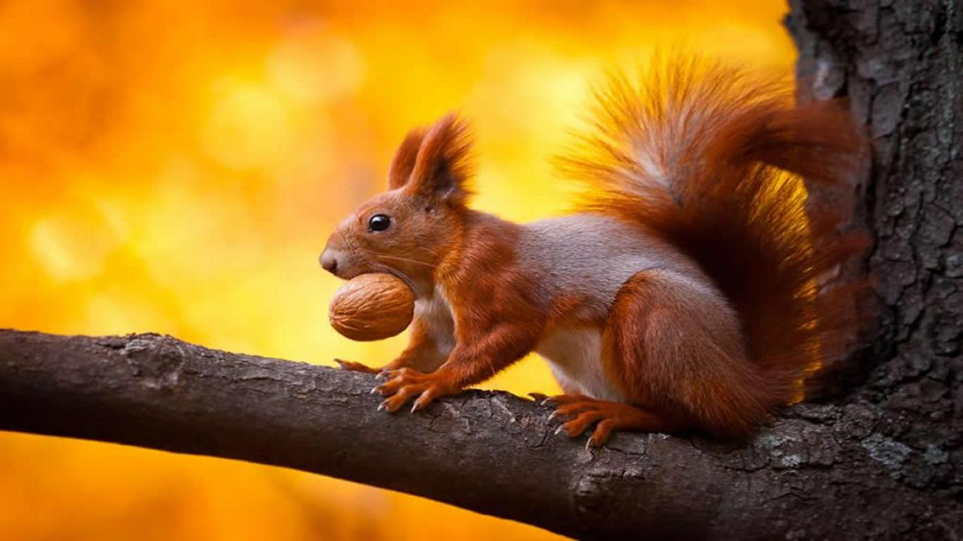 squirrel wallpaper - photo #24