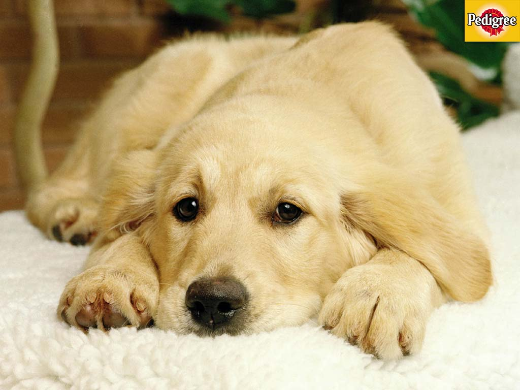 Golden Retriever HD Wallpapers