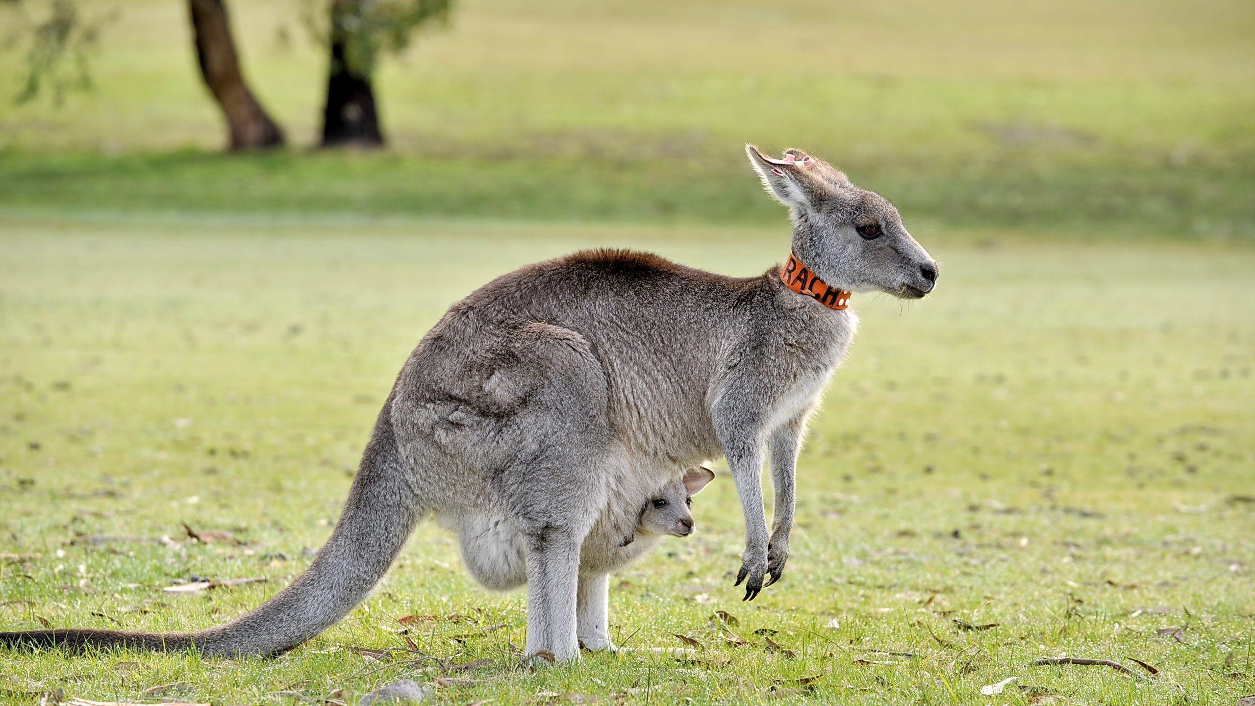 Kangaroo Computer Wallpapers, Desktop Backgrounds 2560x1440 Id: 373736