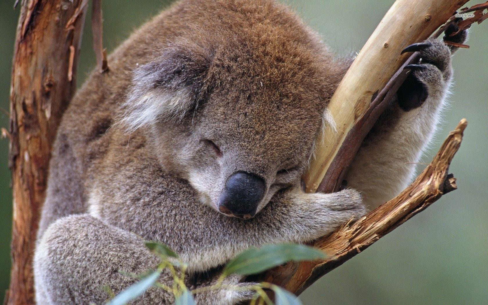 koala wallpapers wallpaper cave. Black Bedroom Furniture Sets. Home Design Ideas