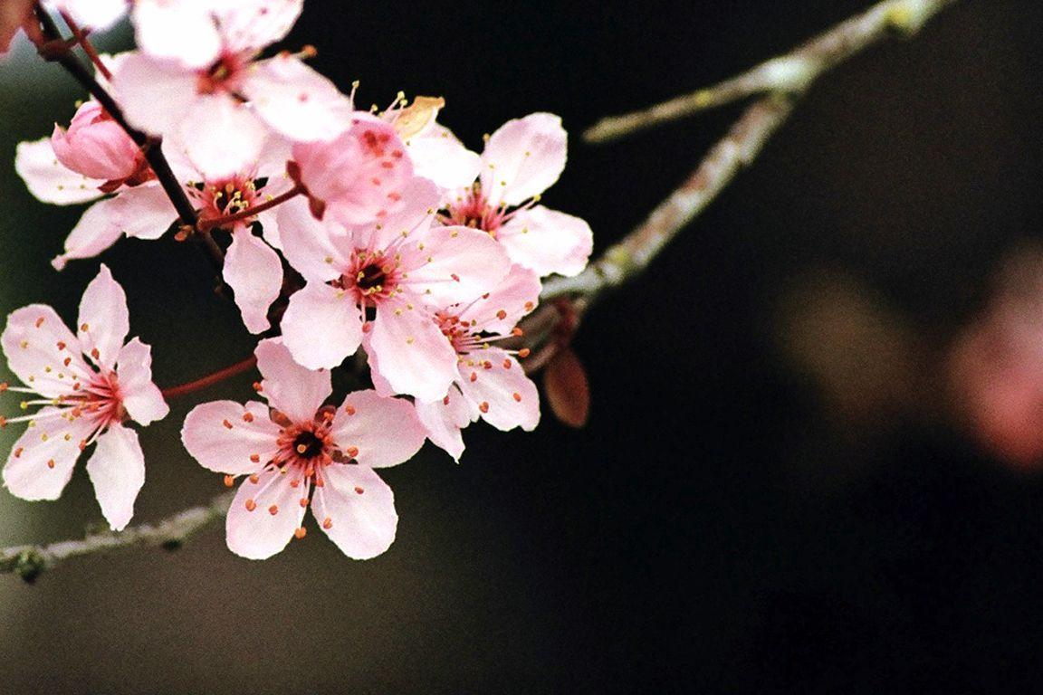 Wallpapers For Japanese Cherry Blossom Art Wallpaper