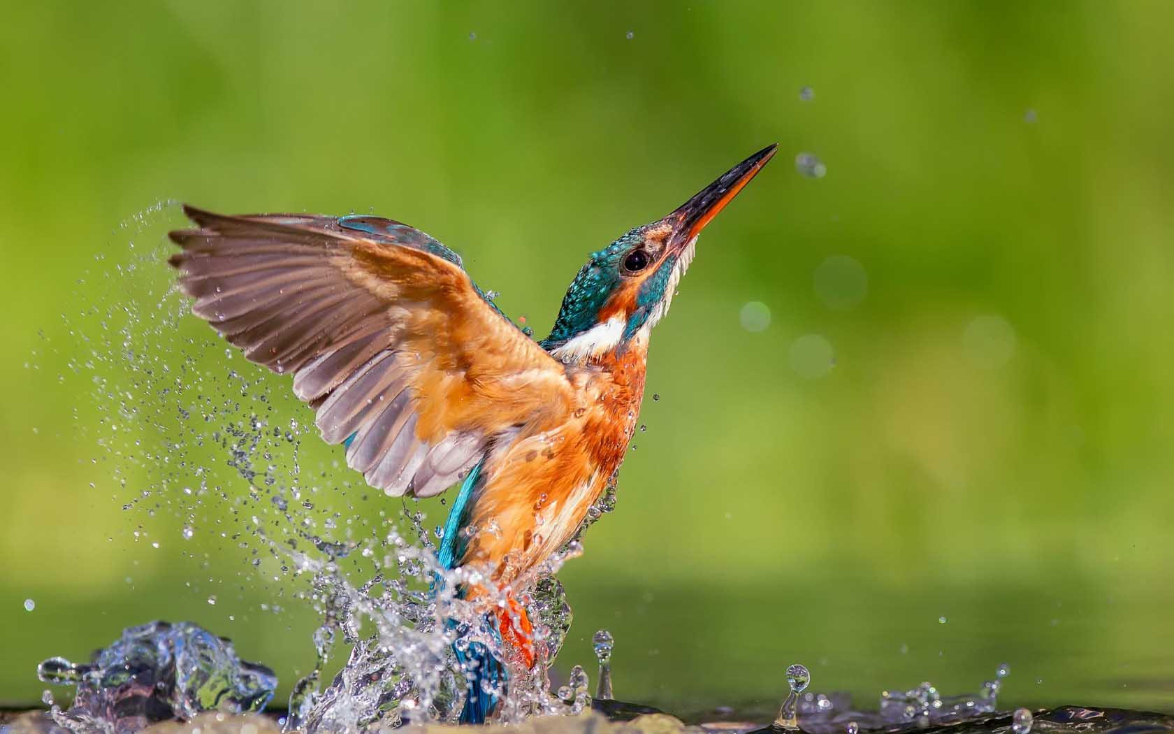 Kingfisher wallpapers wallpaper cave - Animal and bird hd wallpaper ...
