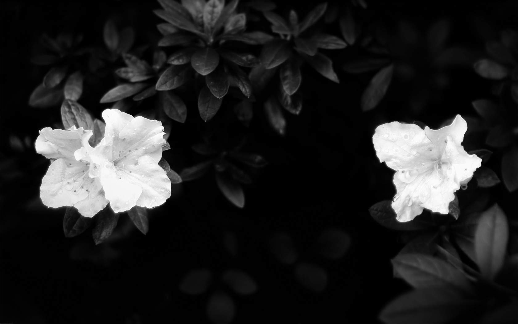 Dark flower wallpapers wallpaper cave wallpapers for black and white flower desktop background mightylinksfo