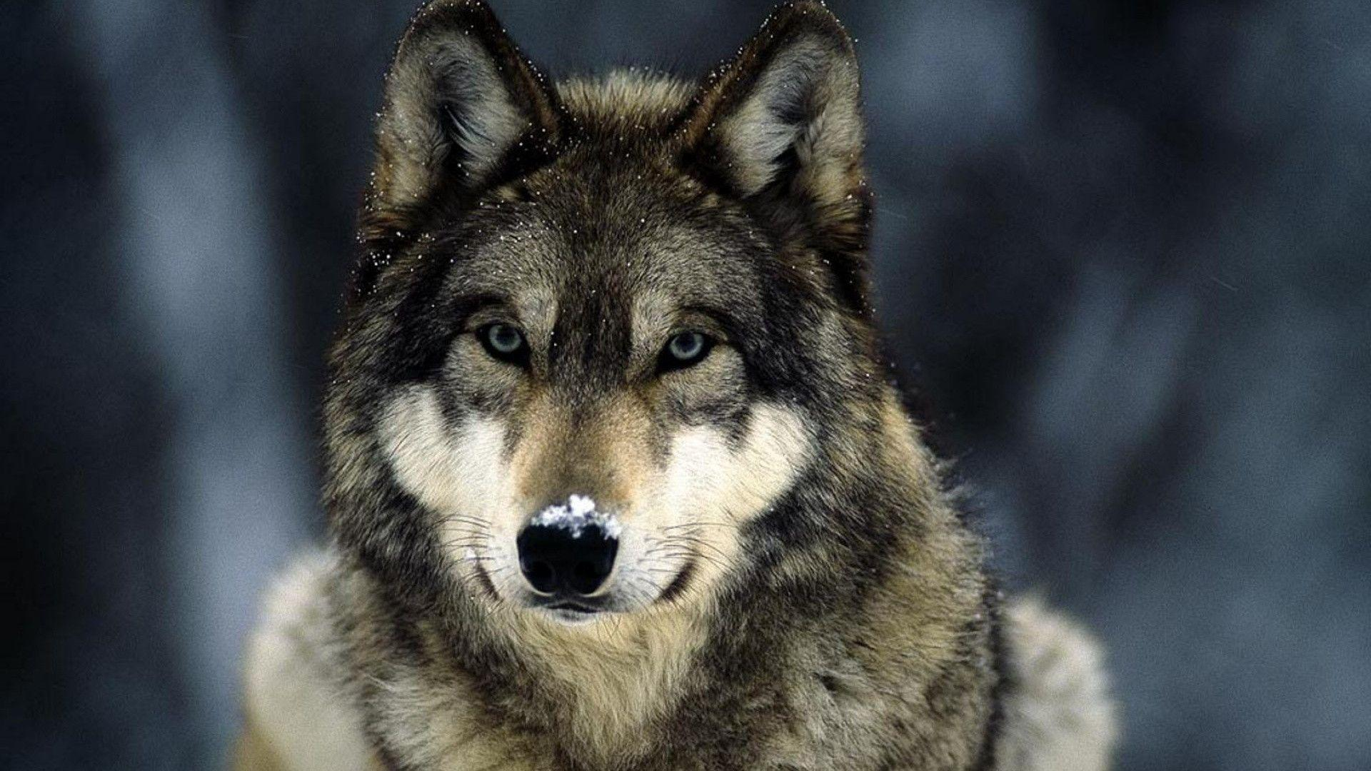 Wallpapers wolf wallpaper reptile animals artleo 1920x1080 px ...