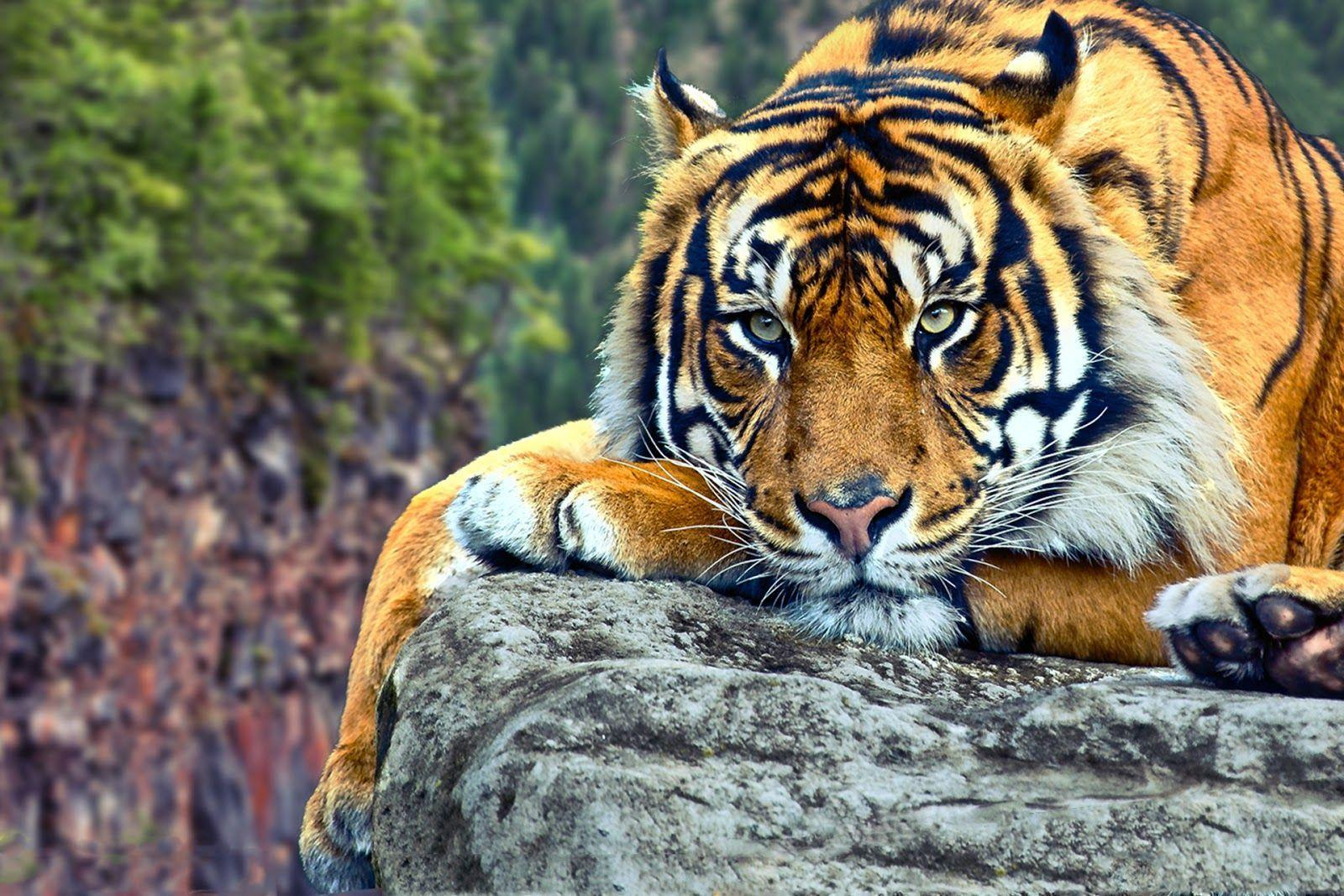 tiger desktop backgrounds wallpaper cave