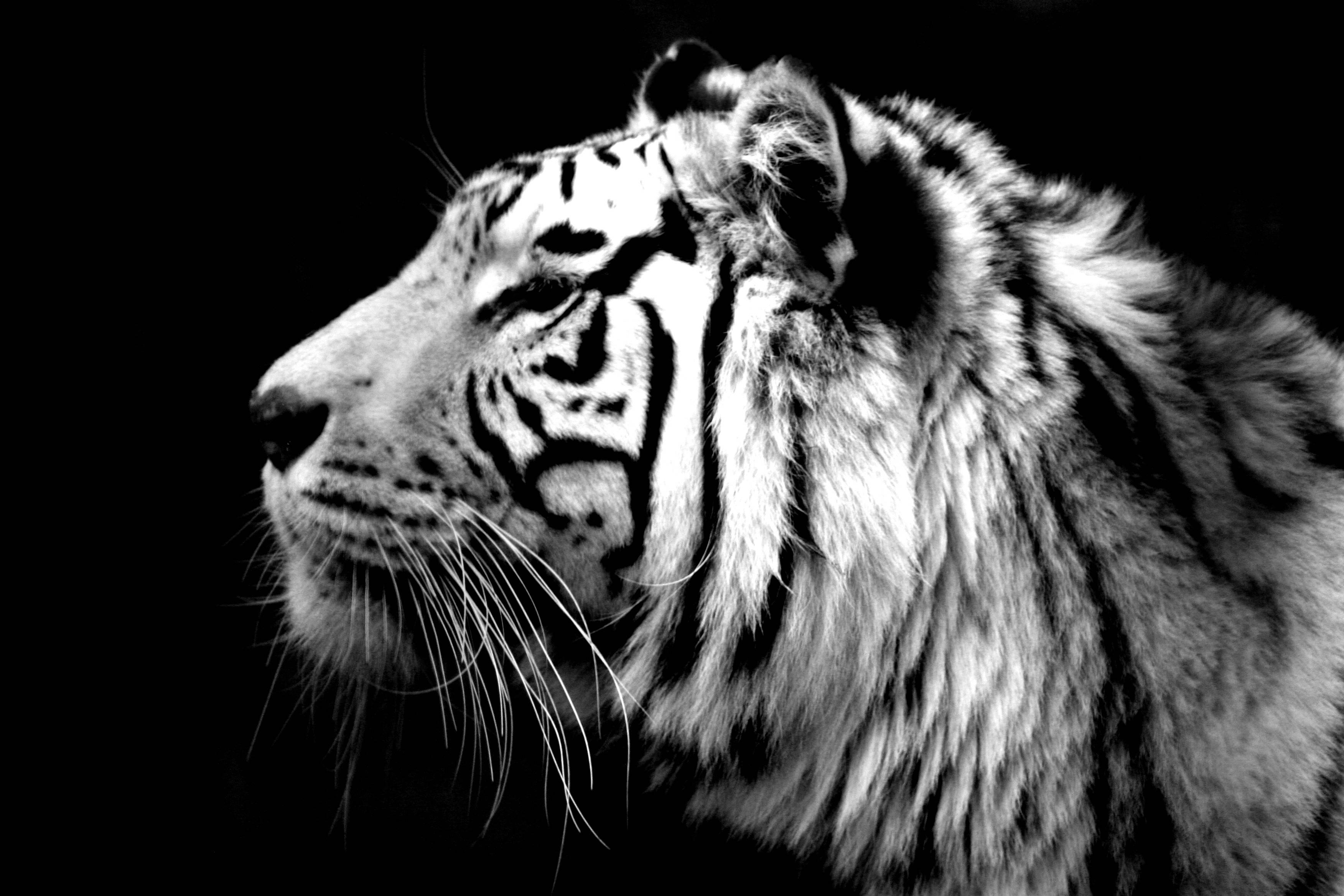 8k Animal Wallpaper Download: Tiger Face Wallpapers