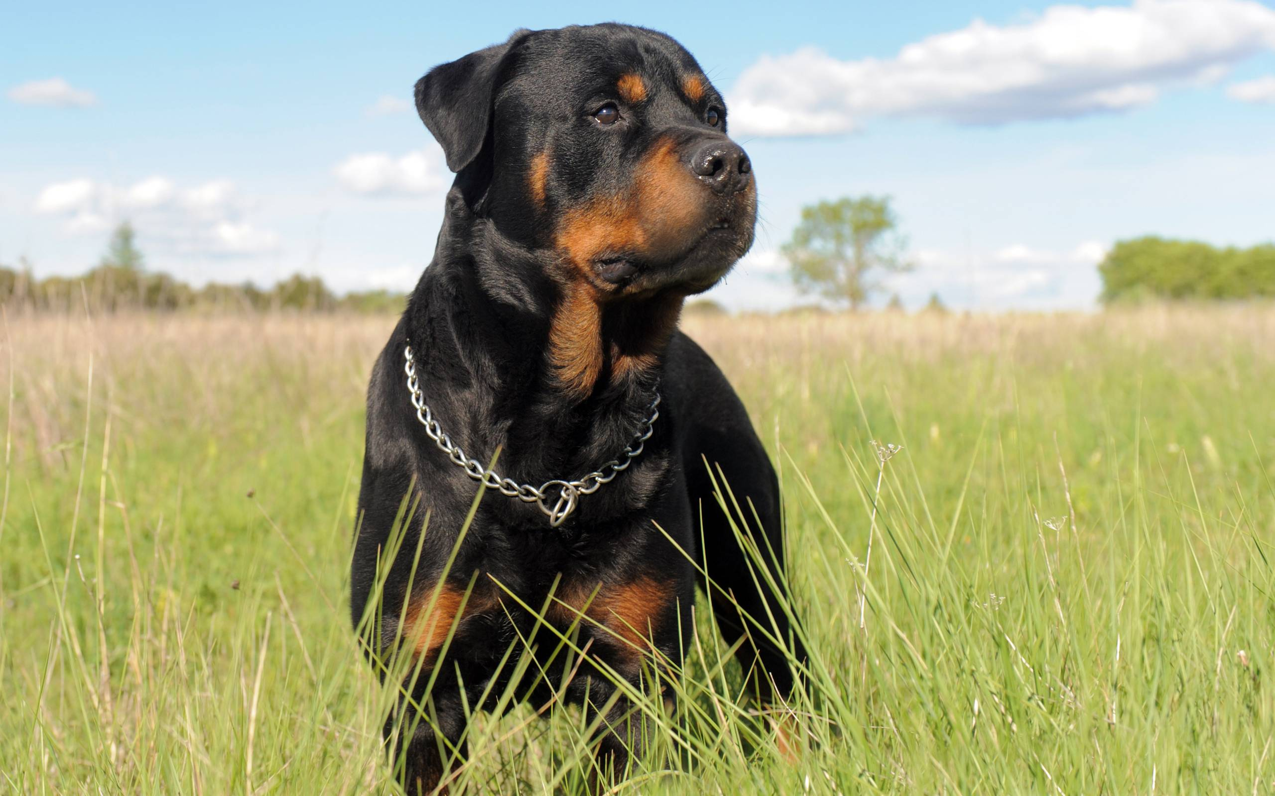 Help the Rottweilers and Pitbulls in our dog rescue organization Become a volunteer or a dog foster parent Dog foster families in northern New England are always