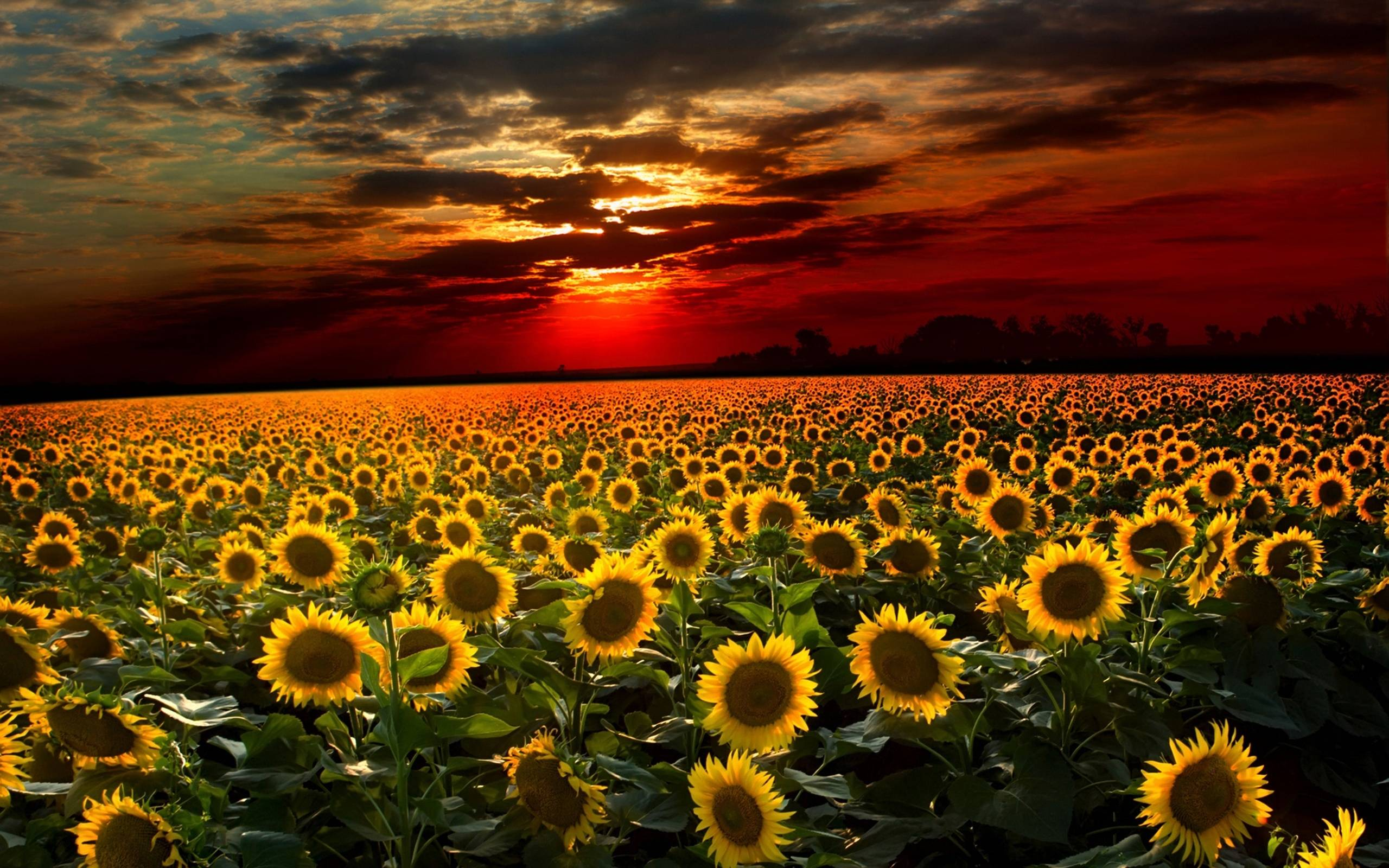 Field Of Sunflowers Wallpaper: Sunflower Wallpapers