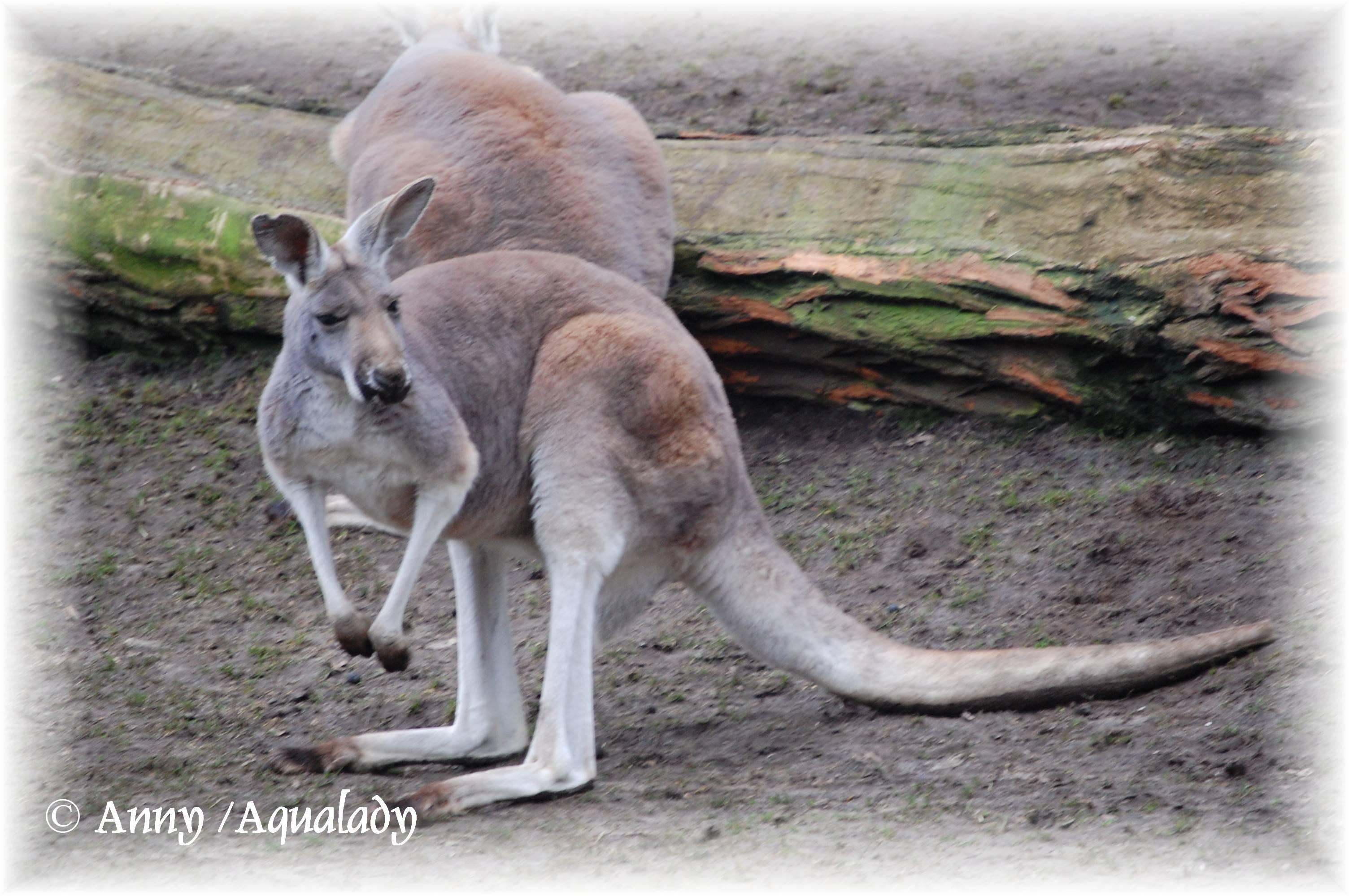Kangaroo Wallpapers (Wallpaper 1-2 of 2)