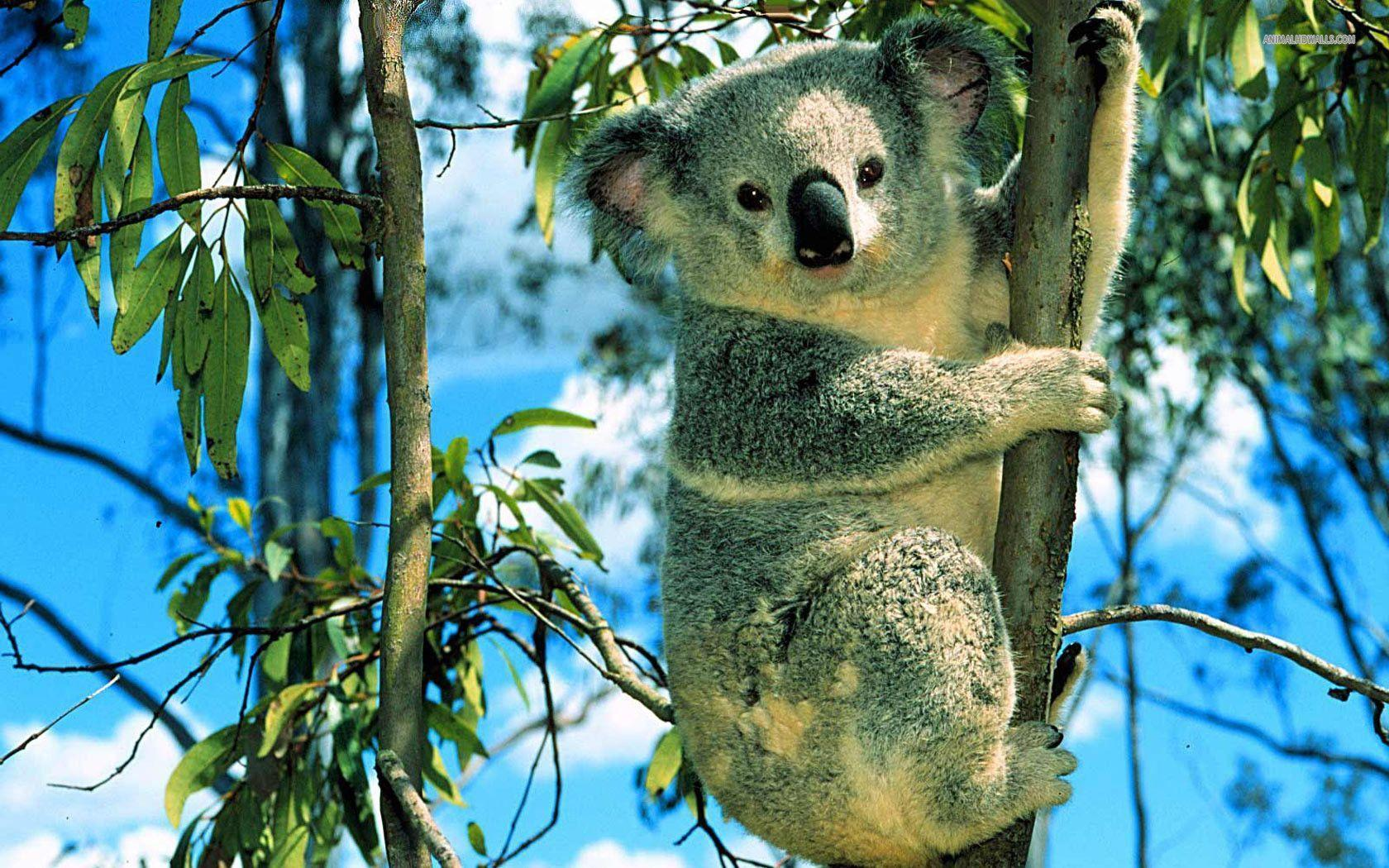 41 Koala Wallpapers | Koala Backgrounds