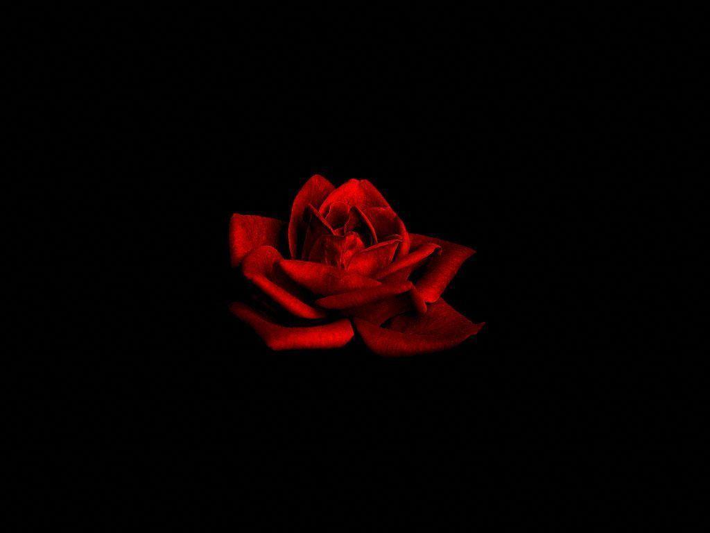Red rose on black backgrounds wallpaper cave - Black red rose wallpaper ...