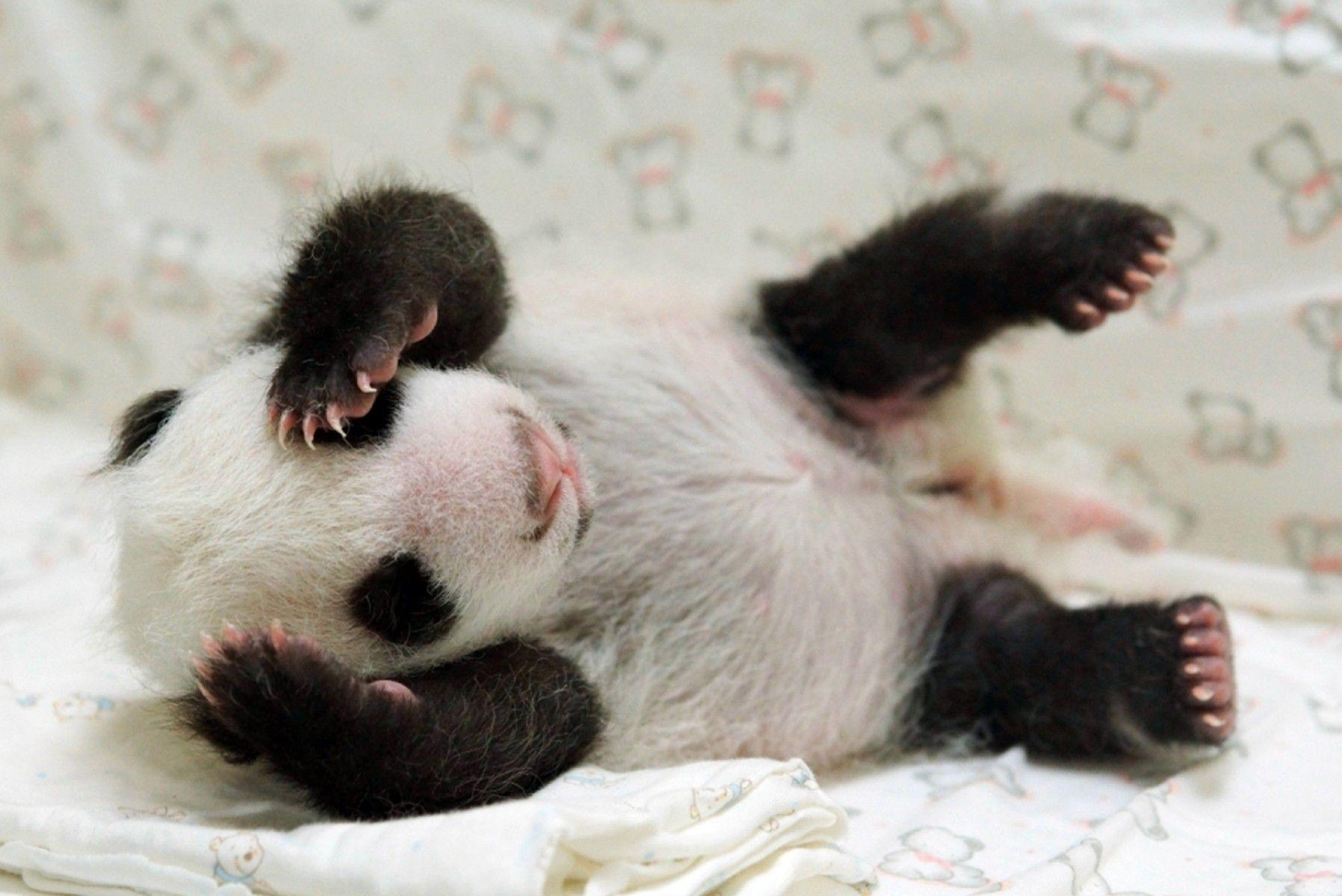 Baby Panda Cute Animal Pictures Wallpaper
