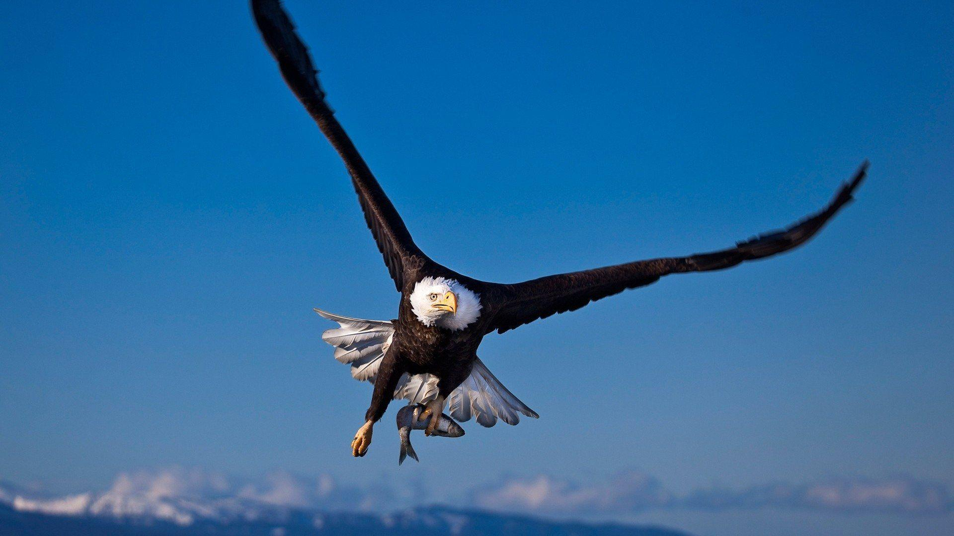 Animals For > American Eagle Hd Wallpaper