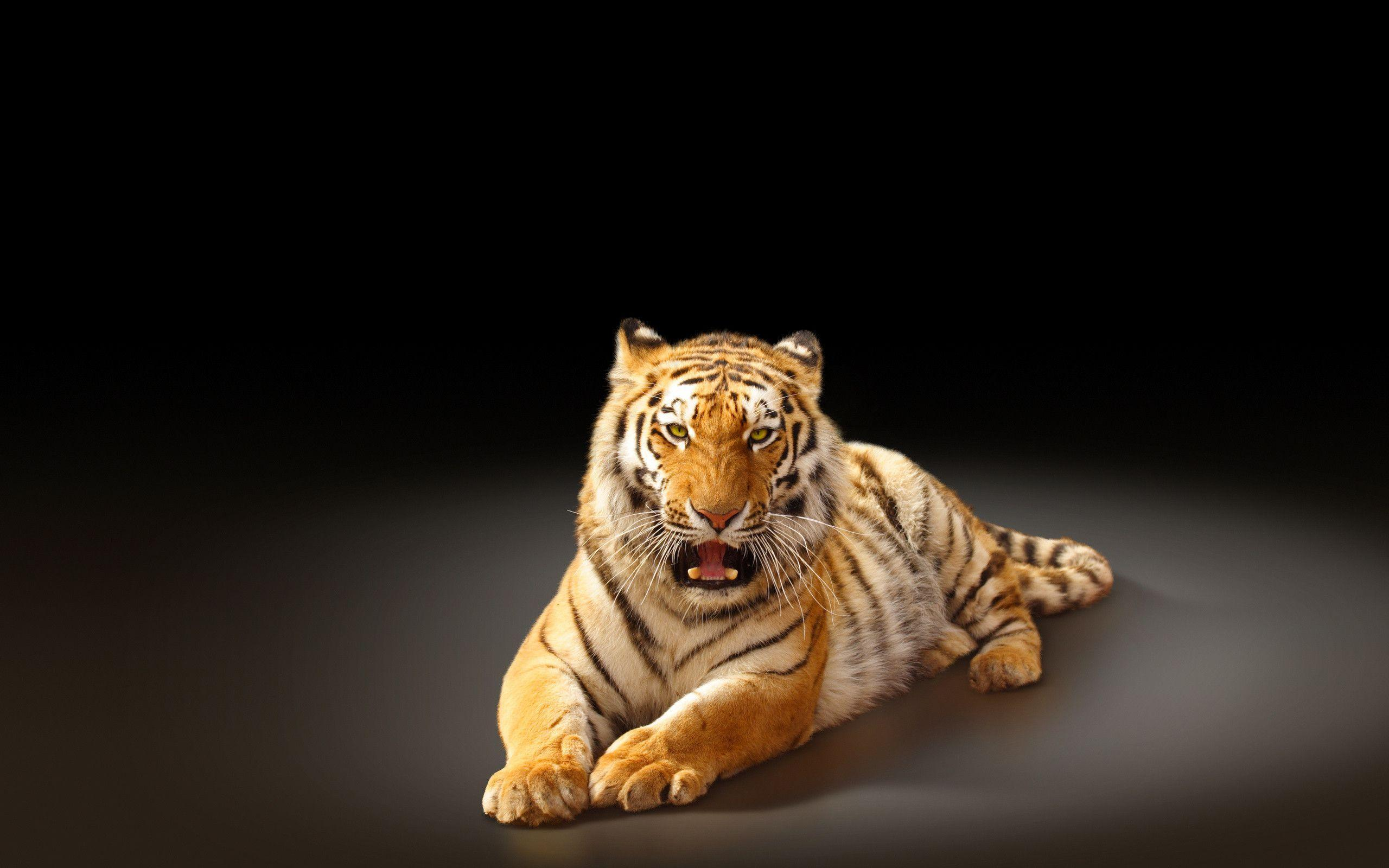 Siberian tiger big cat f wallpapers