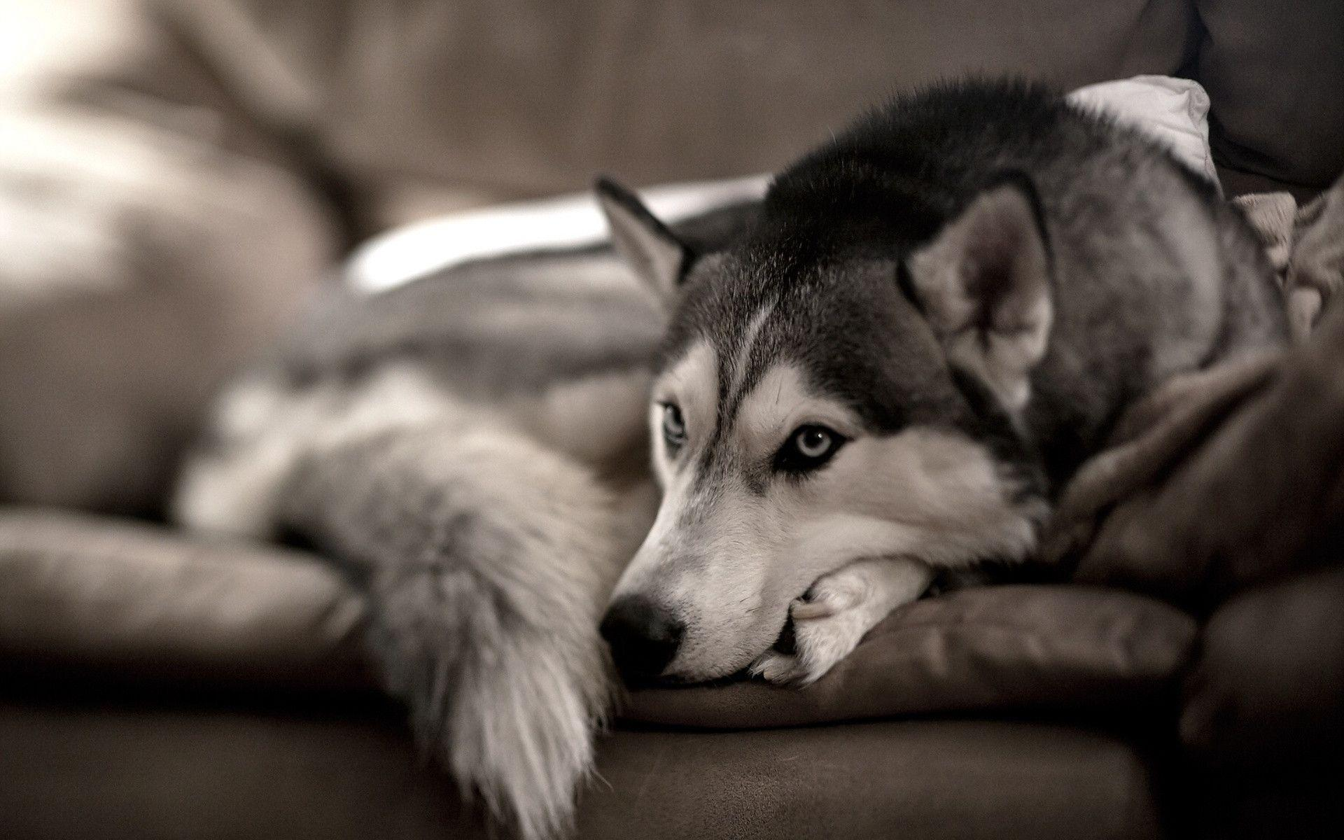Siberian Husky Wallpapers - Wallpaper Cave | Siberian Husky Pictures Free Download
