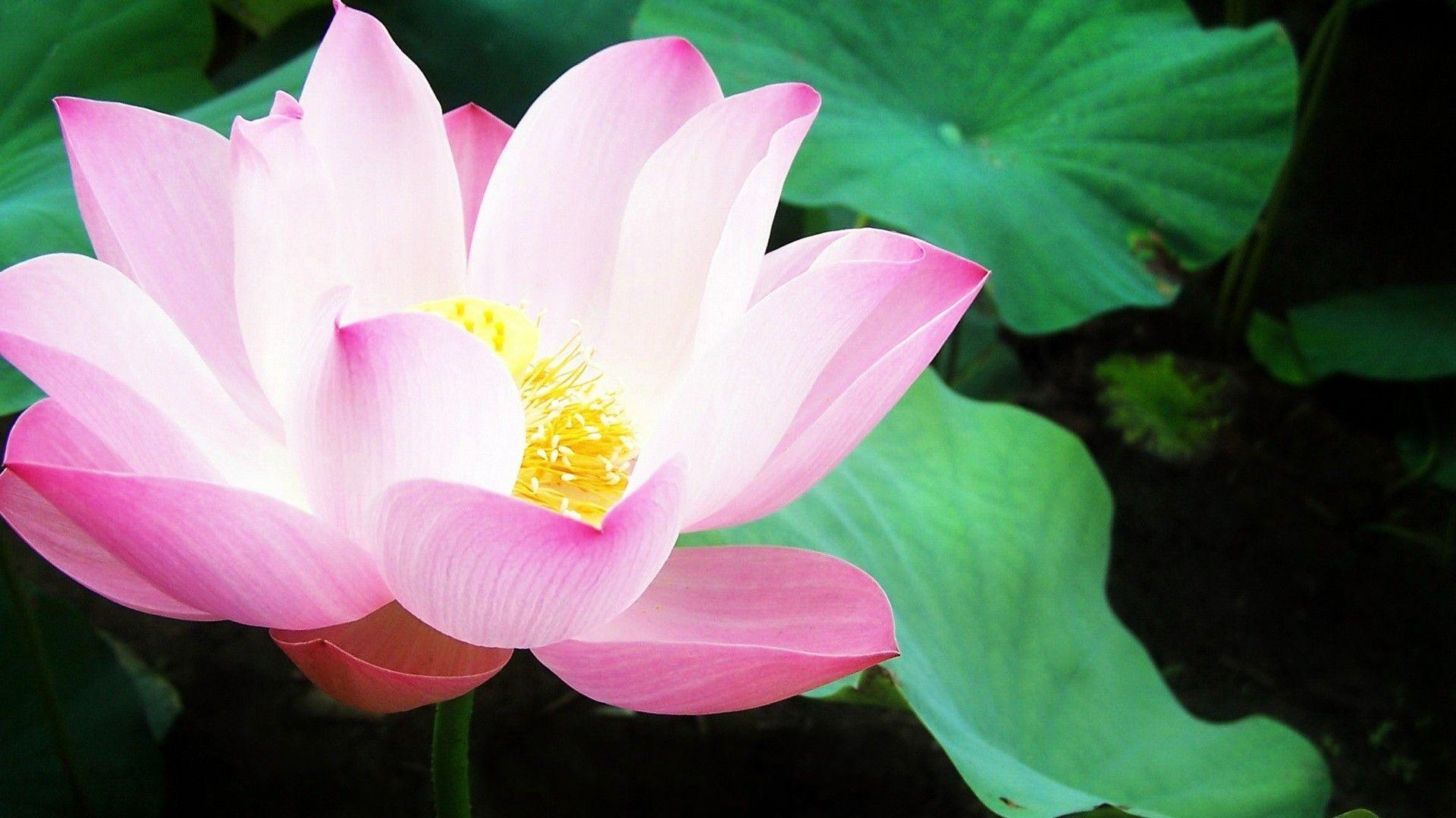 Lily pad wallpapers wallpaper cave pink lily pad flower wallpaper flowerhdwallpaper izmirmasajfo