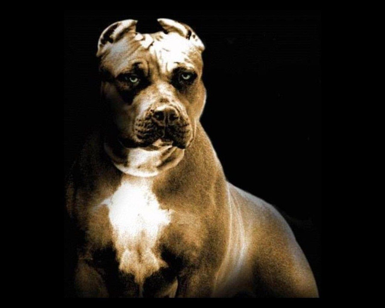 Pitbull Dog New Wallpapers