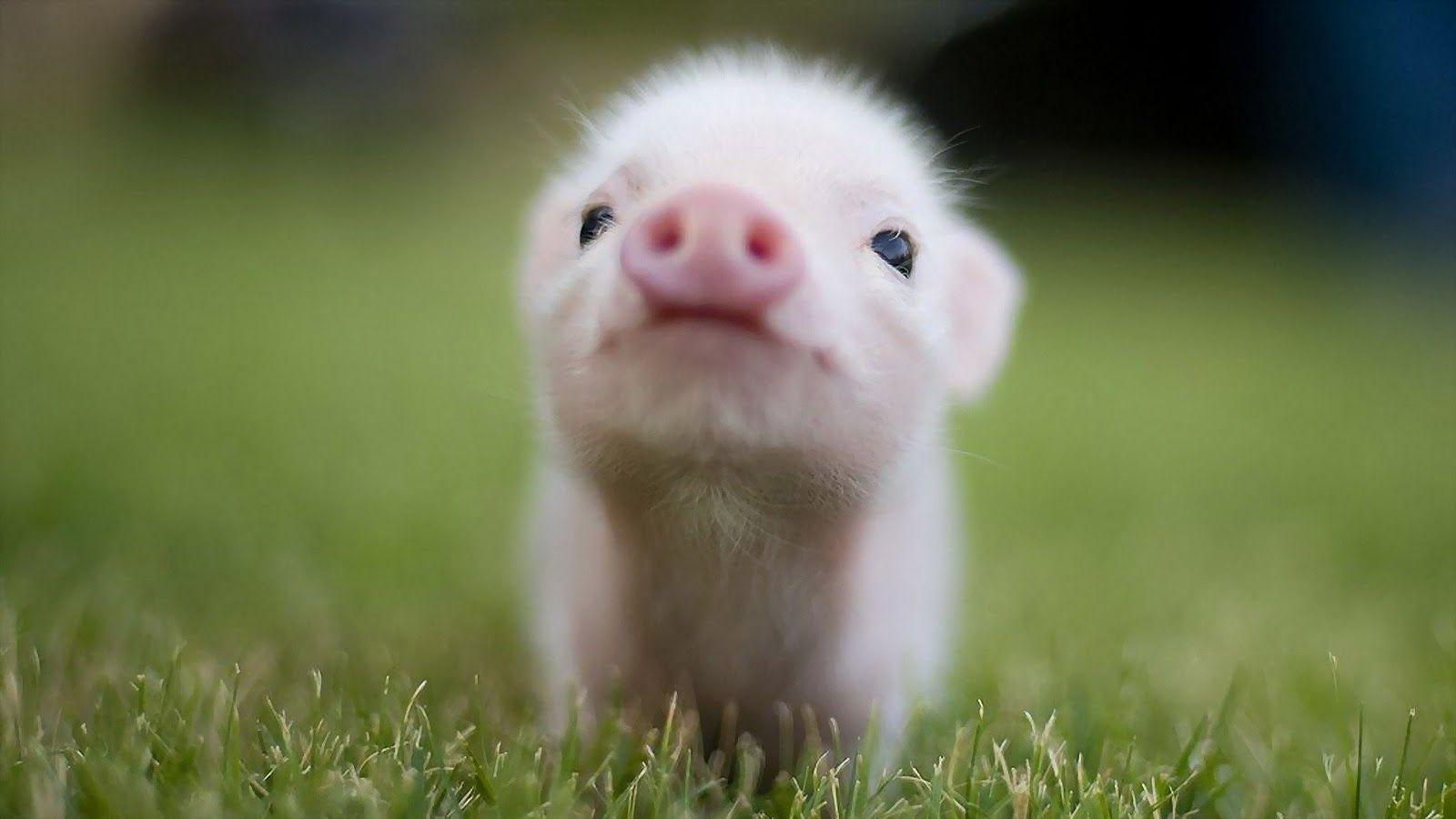 cute pig wallpapers wallpaper cave