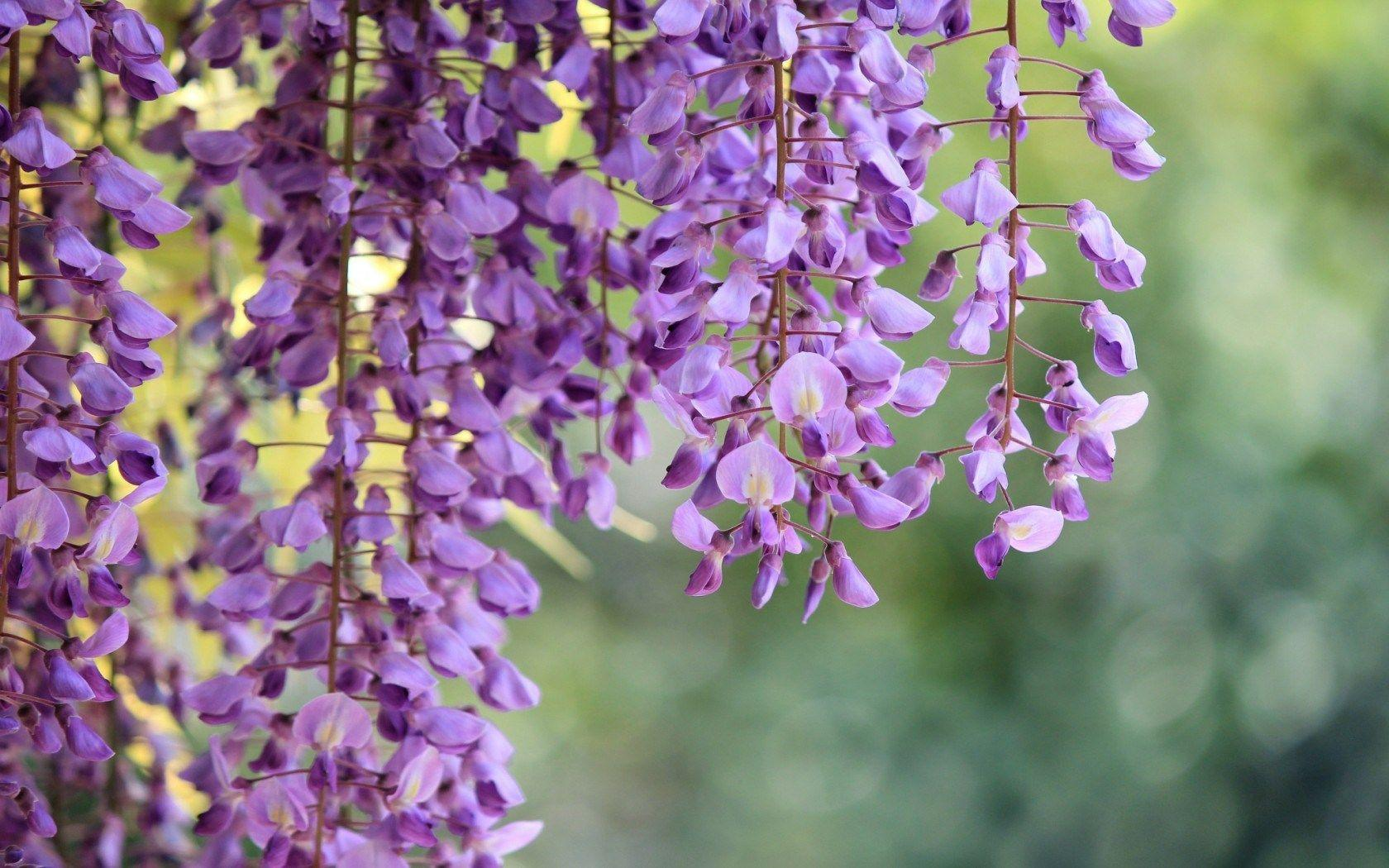 Piante Rampicanti Dwg : Wisteria wallpapers wallpaper cave