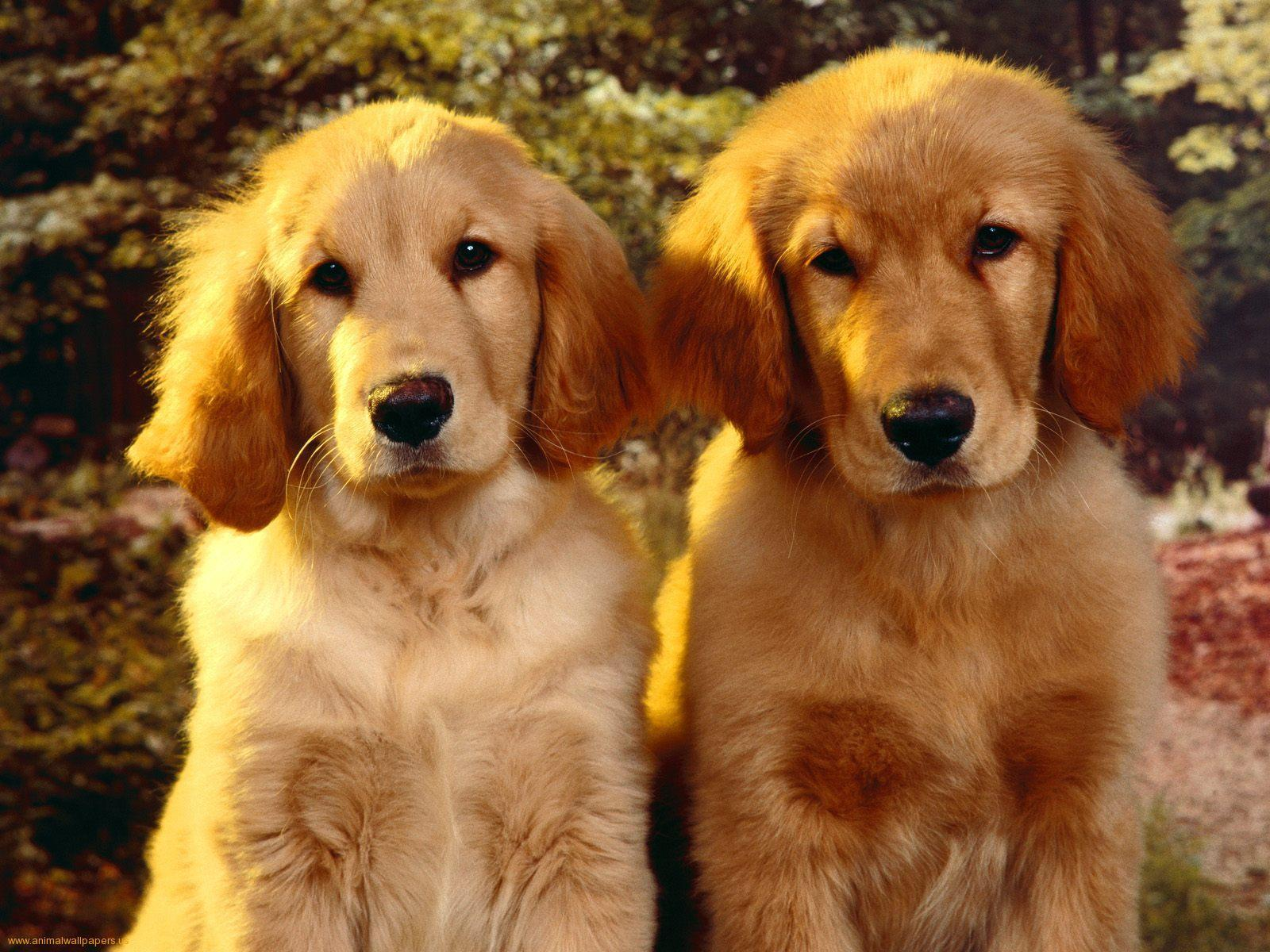 Golden Retriever Wallpaper, wallpaper, Golden Retriever Wallpaper ...