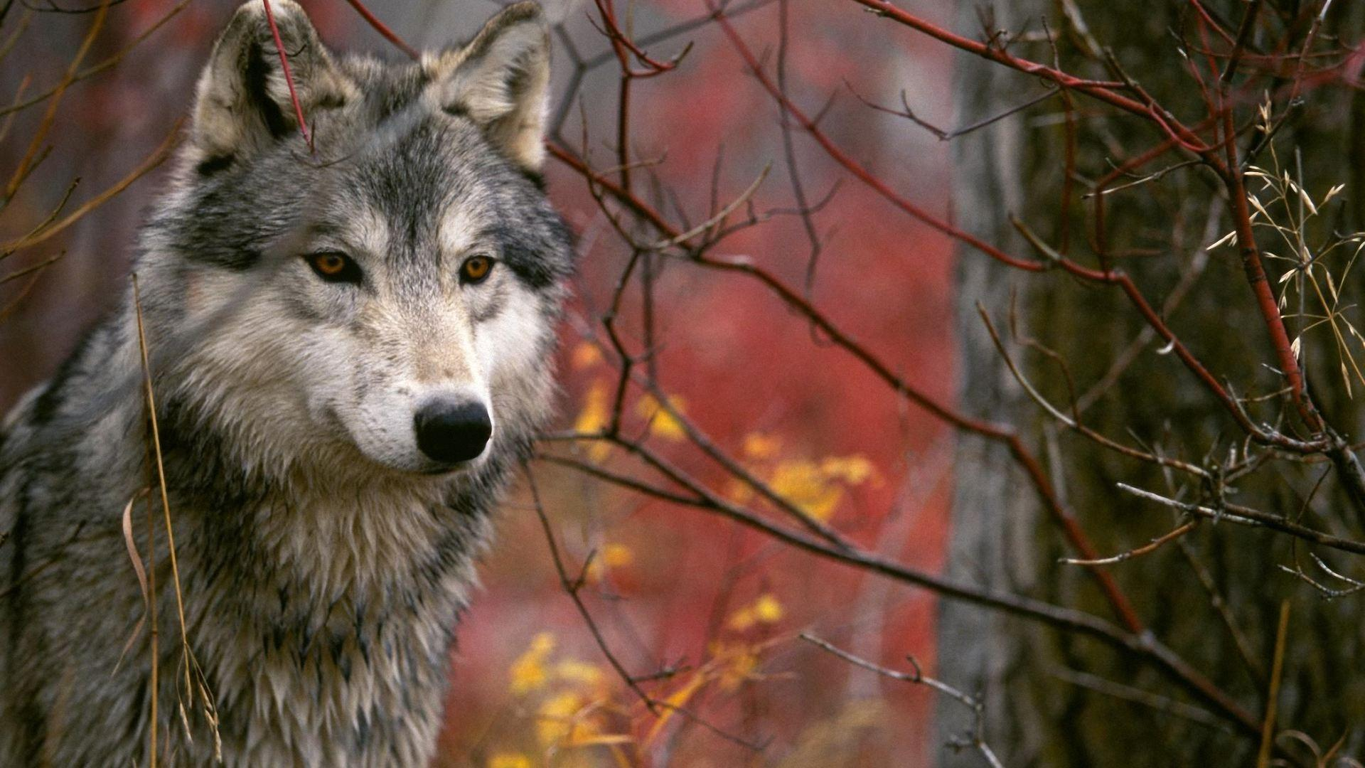 Wolf Wallpapers 1920X1080 wallpapers