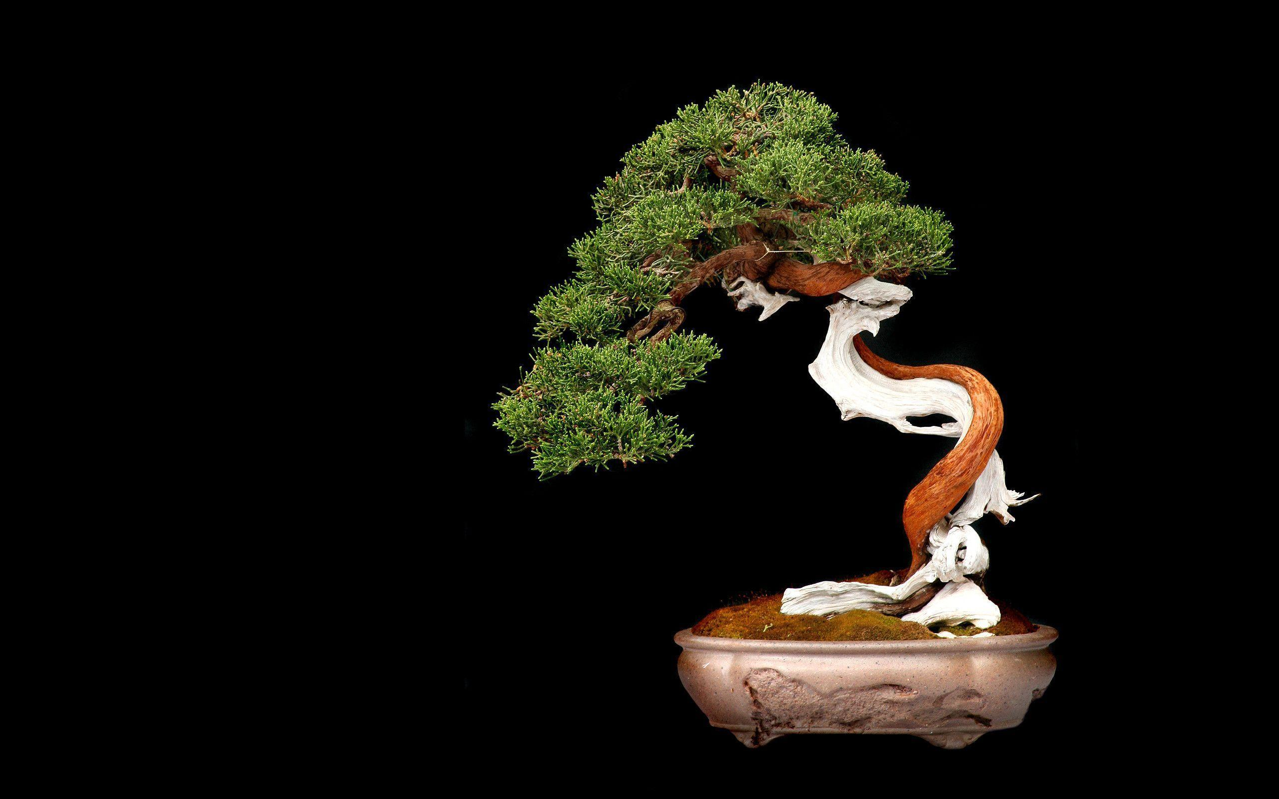 Bonsai tree-wallpaper-2560x1600 wallpaper | 2560x1600 | 231953 ...