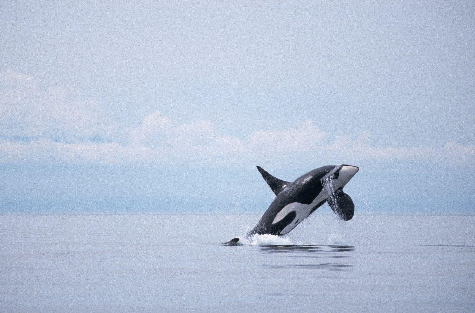 Sharks And Killer Whales 55 HD Wallpapers