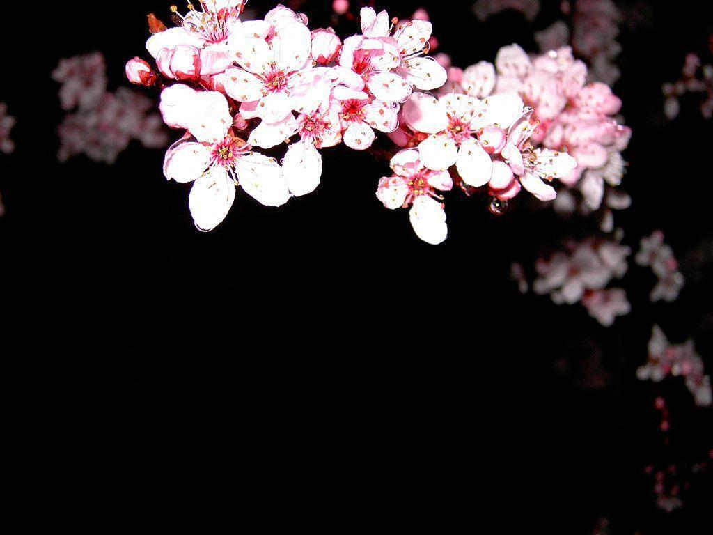 Cherry Blossom Desktop Wallpapers Wallpaper Cave