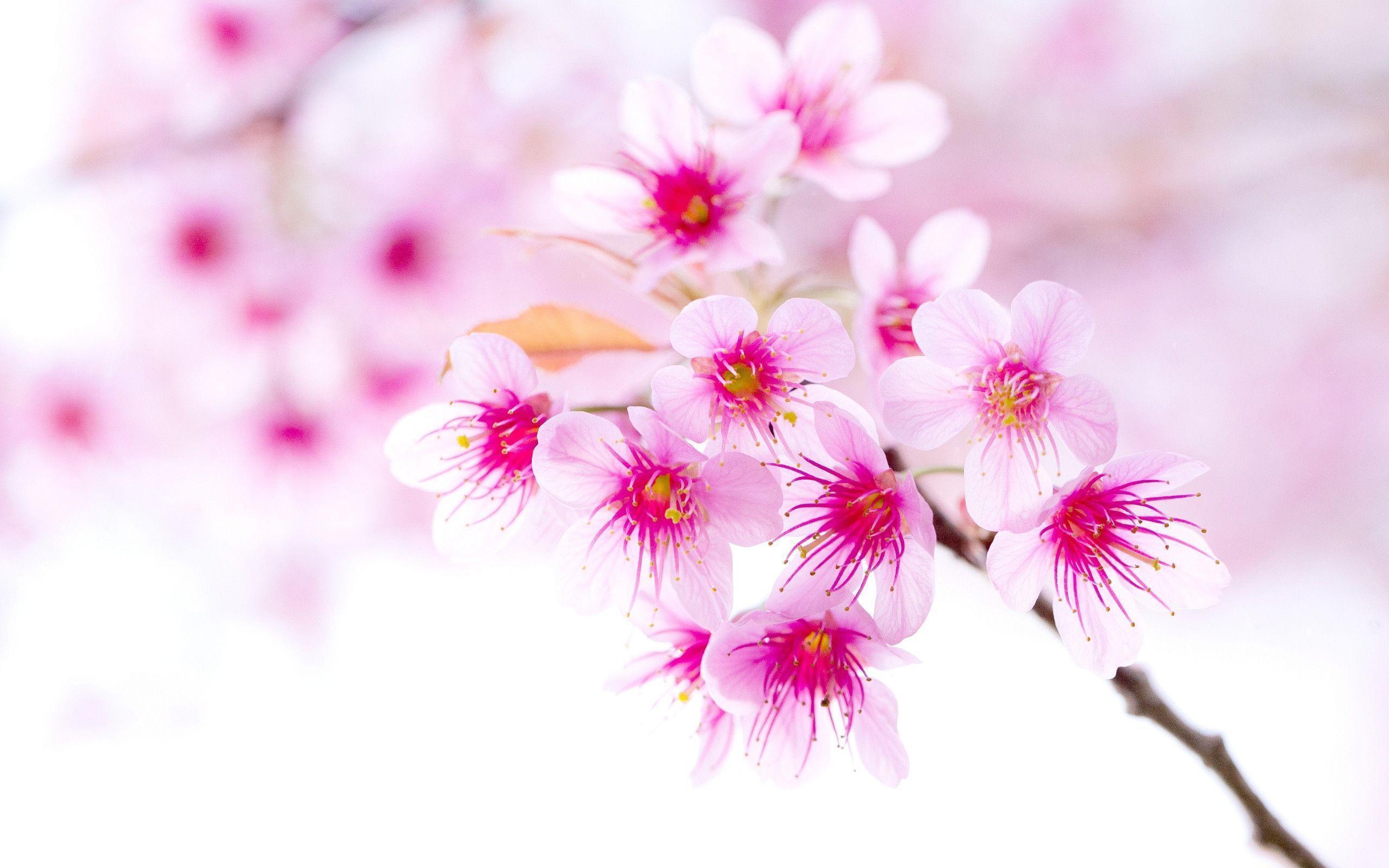 cherry_blossom_pink_sakura_ ...