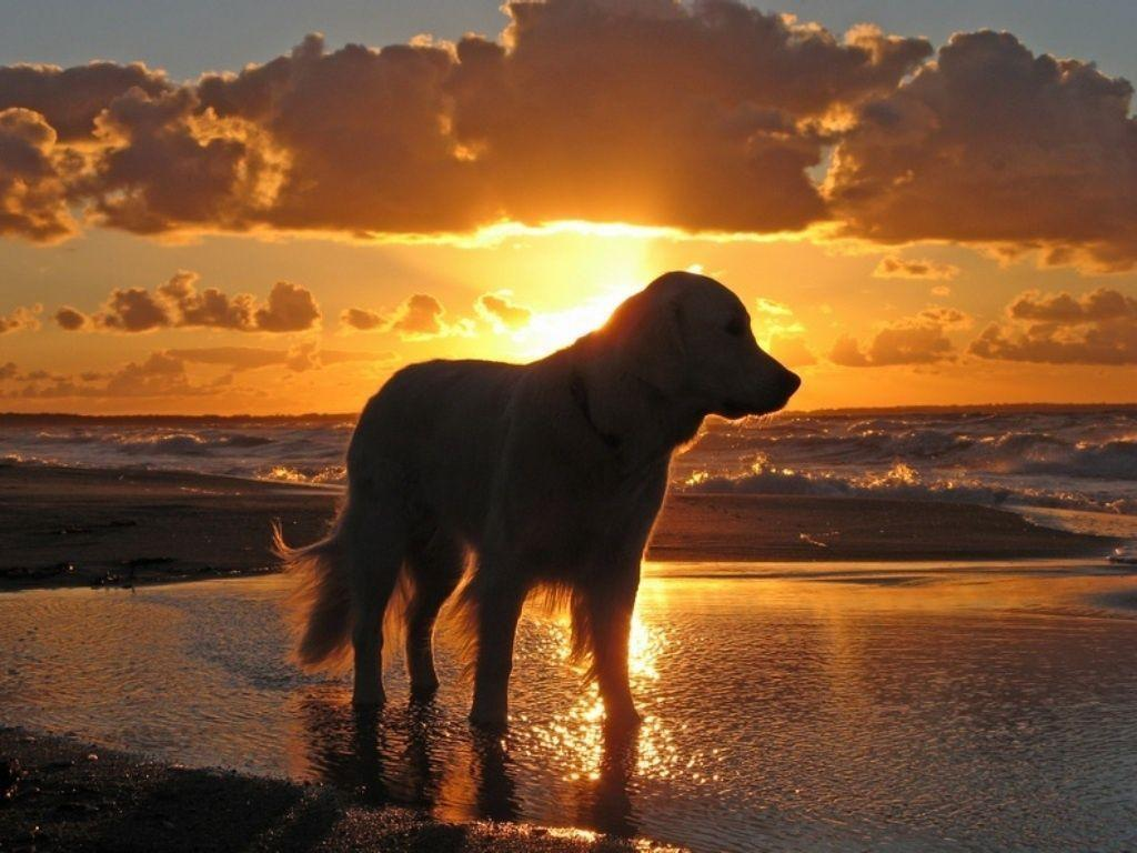 Wallpaper Golden Retriever