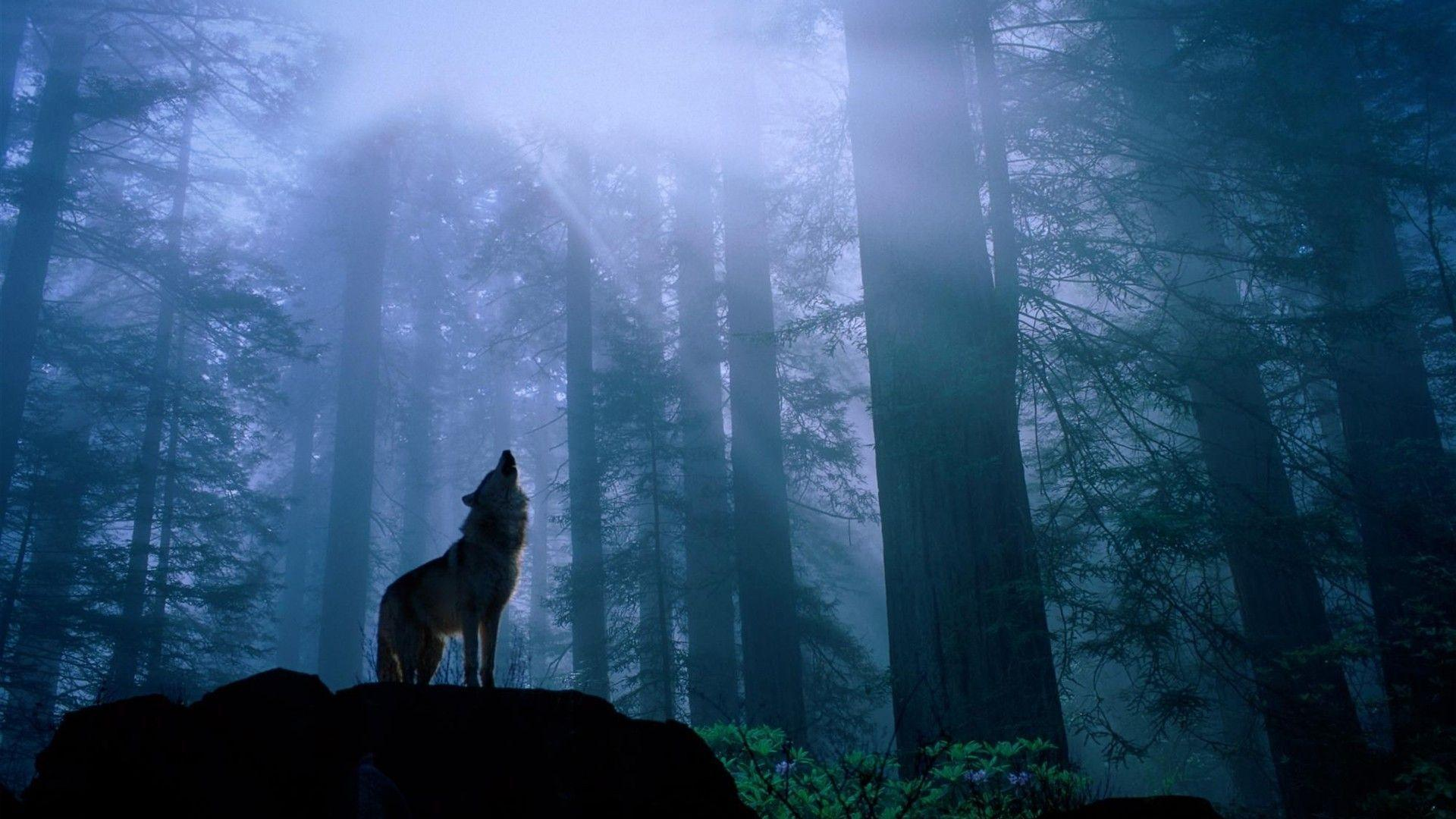 Wolf Wallpaper Album #6 - 1920x1080 Wallpaper Download - Wolf ...