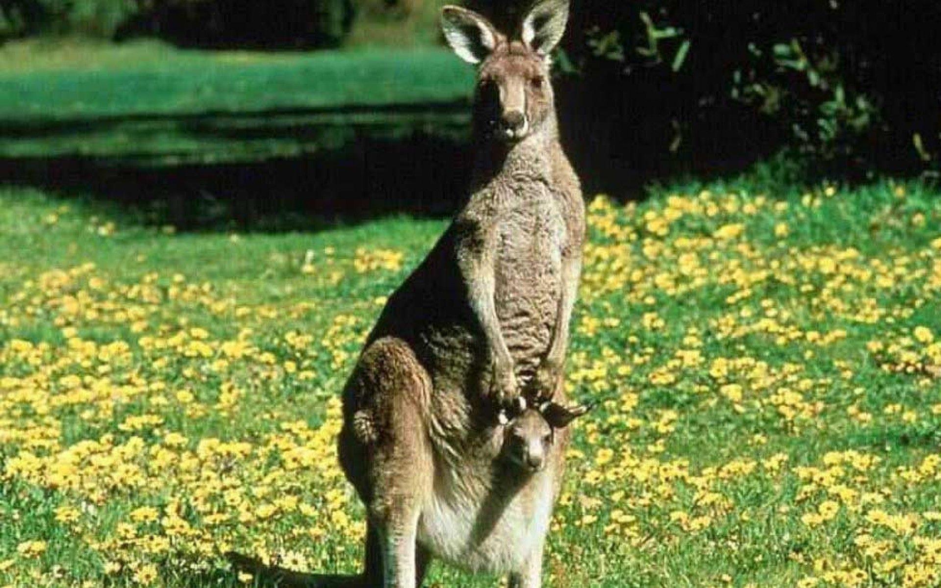 Kangaroo desktop wallpaper - Animal Backgrounds
