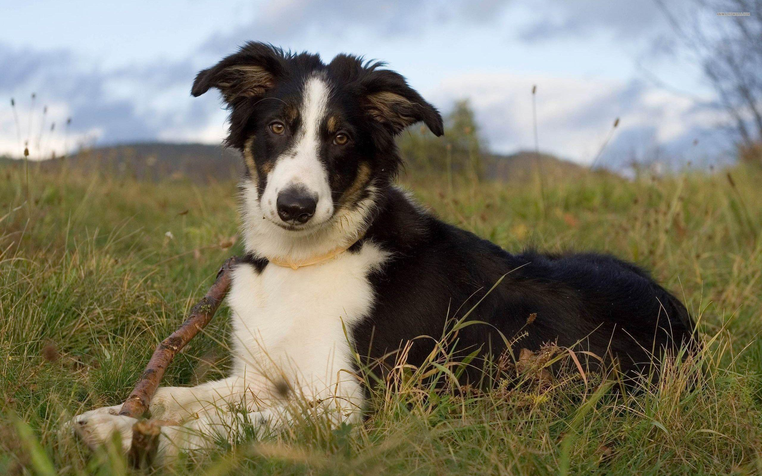 73 border collie hd - photo #3